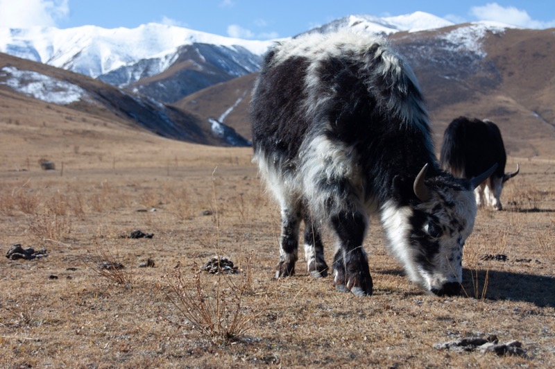 Discover Yak Down -