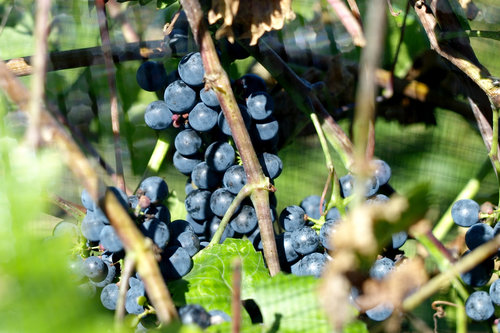 Spring-Hill-Vineyard-Marquette.jpg