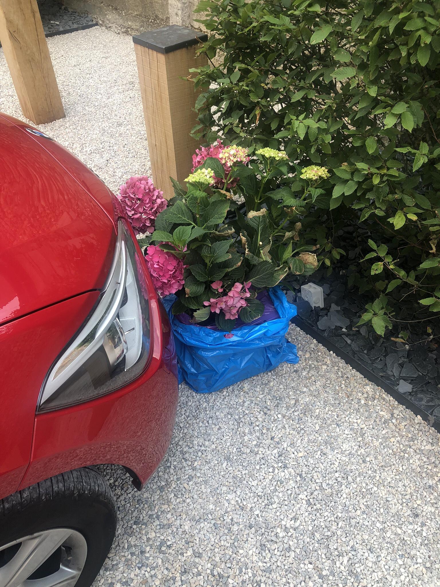 Vädrar Pappas hortensia vid varje stopp. Många tror jag är en vansinnig person när jag släpar ut den här busken från baksätet - där den även är fastspänd med bälte.