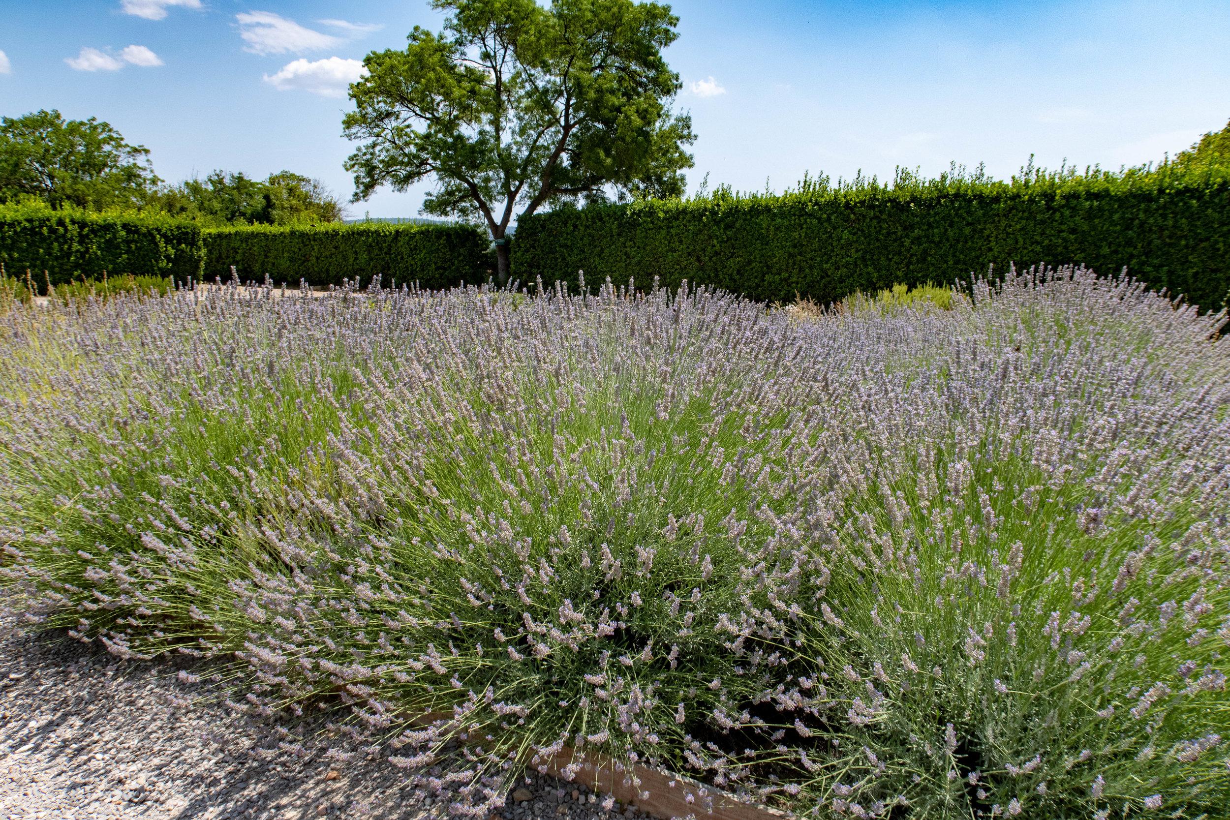 Lavendelrabatt i medicin-trädgården. Önskar mig nu även en sån, tillsammans med min Bouganvillea-häck.