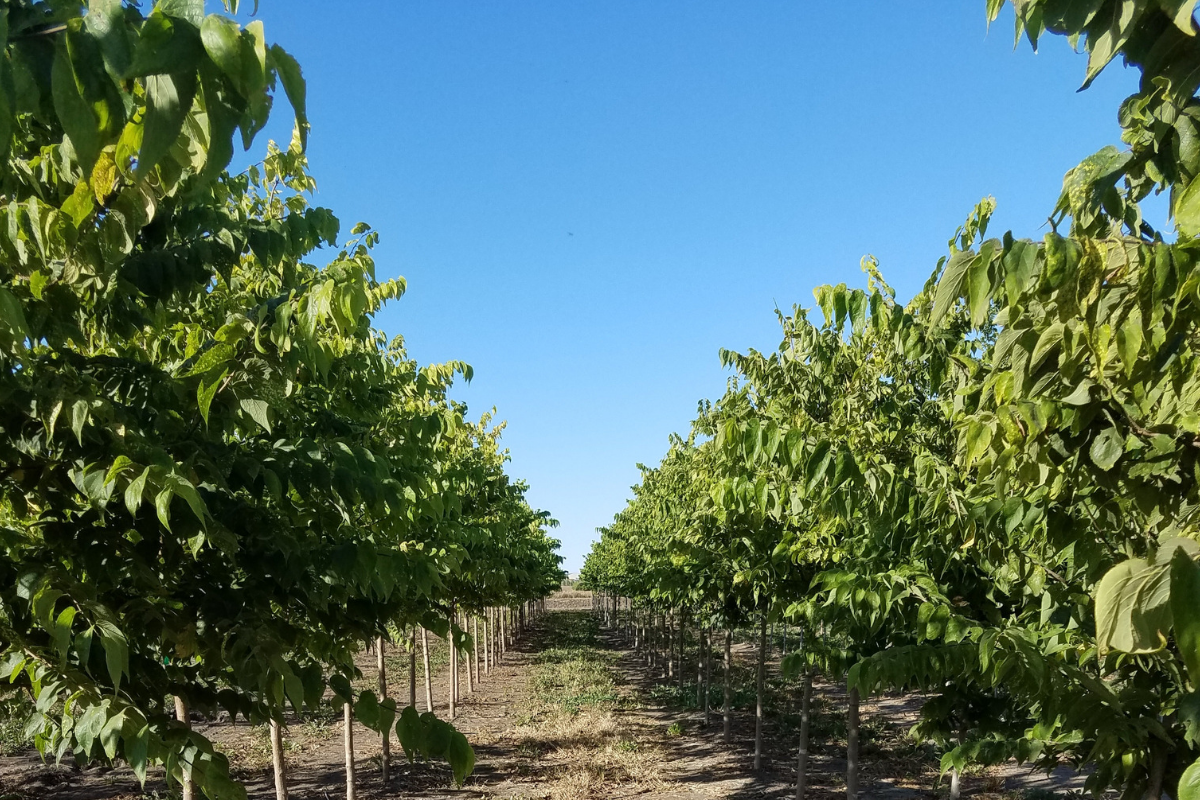 wholesale-shade-trees (1).png
