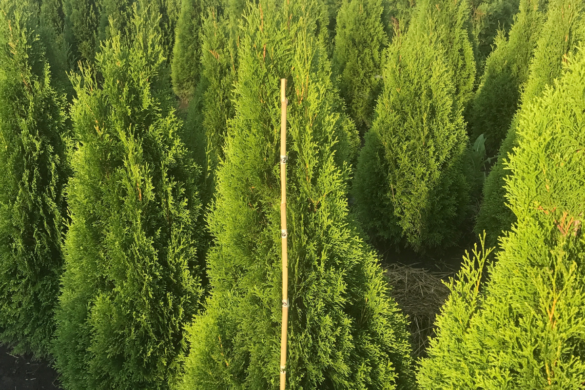 wholesale-evergreen-trees.png