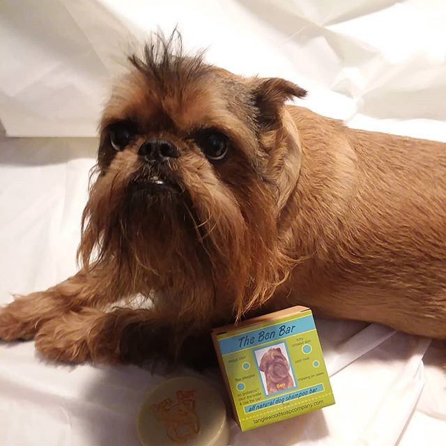 Ben was not happy with his first photo shoot, but he loves the Ben Bar!! Natural dog shampoo!  Info @ tanglewoodsoapcompany.com  #handcraftedisbetter  #brusselsgriffonrules #dogCEO