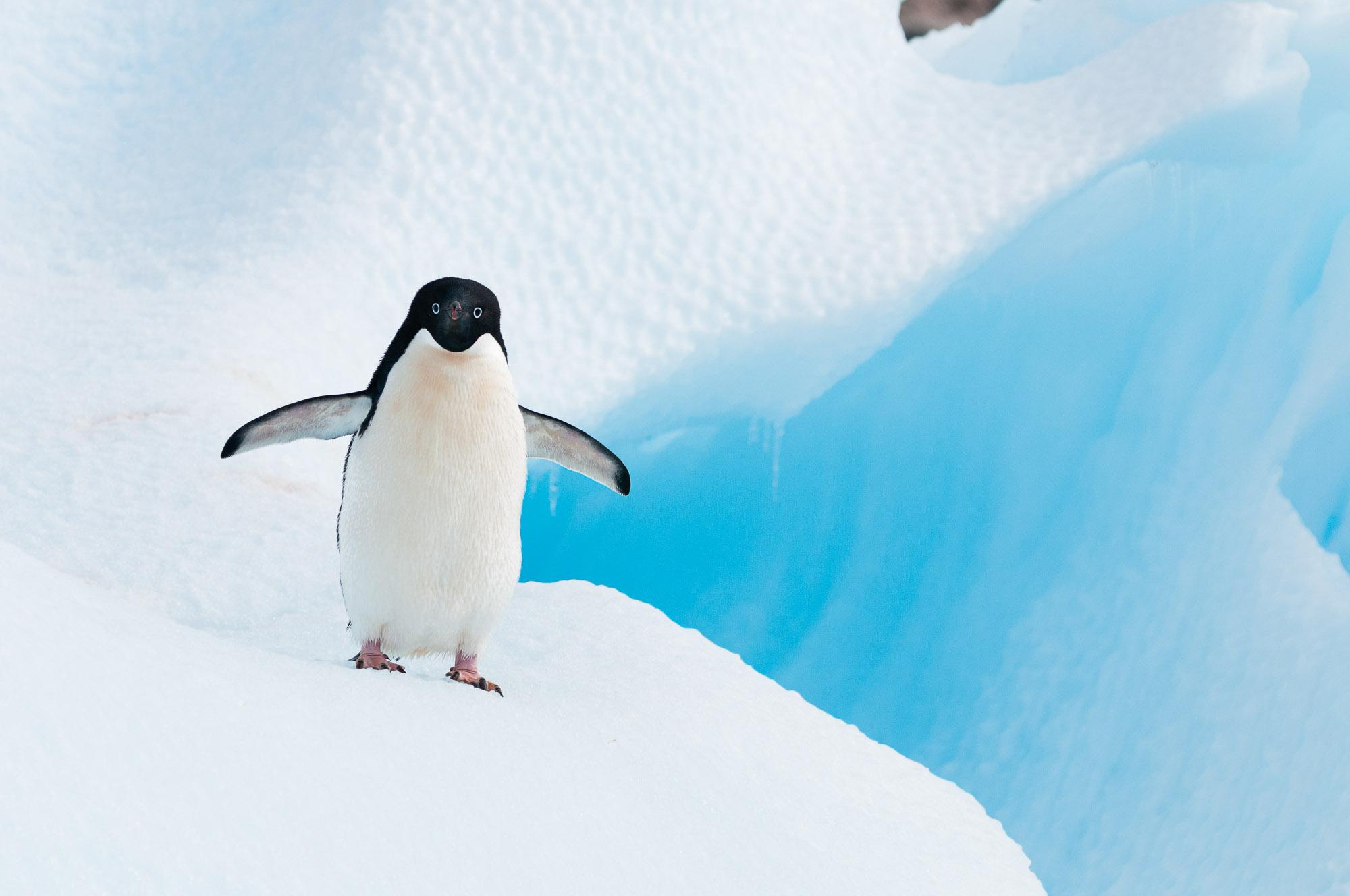 Adélie penguin, on iceberg, Antarctic Peninsula. © www.thomaspickard.com