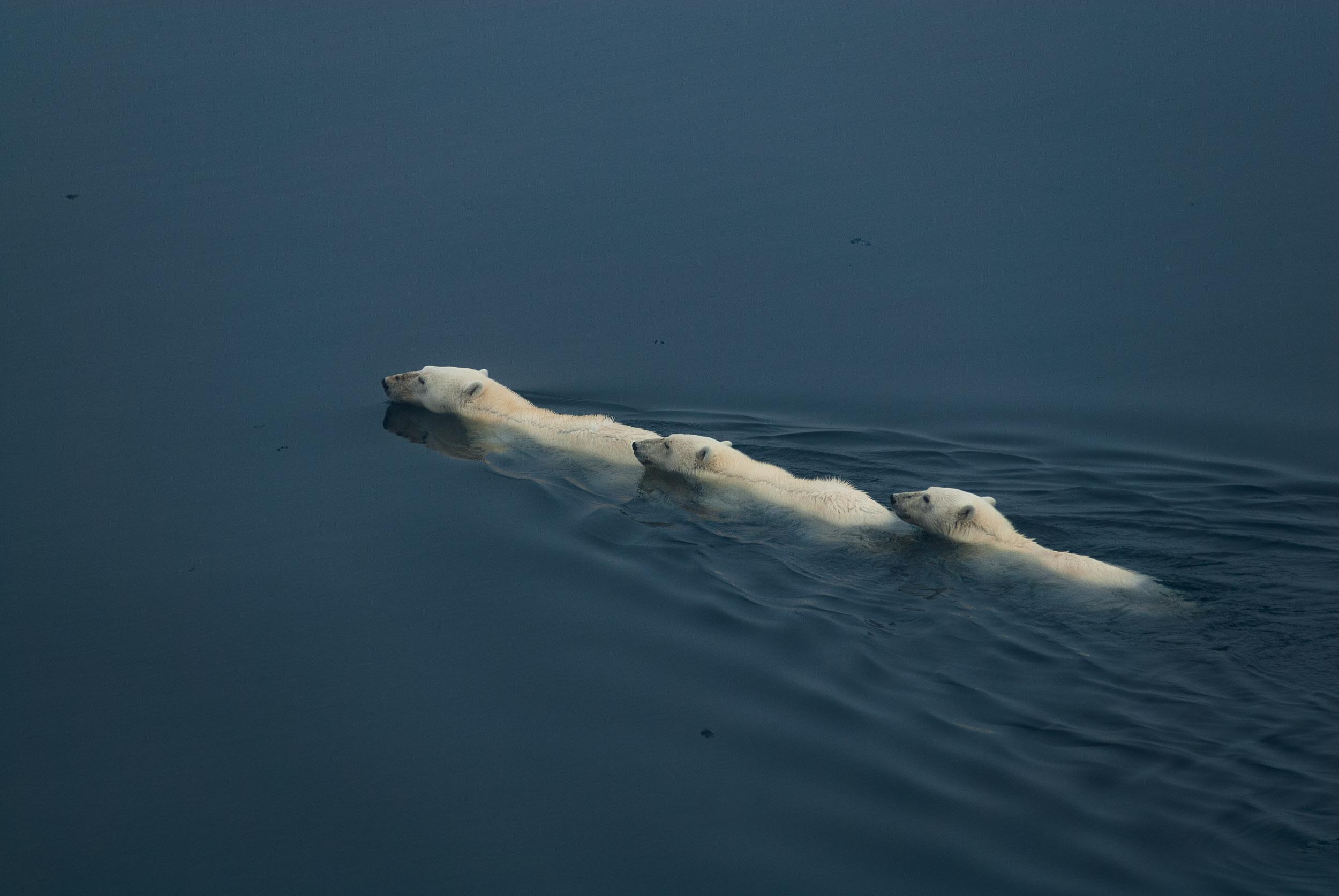 Female polar bear (Ursus Maritimus) and offspring swimming in open water, Hinlopen Straight, Spitsbergen/Svalbard, Norway.