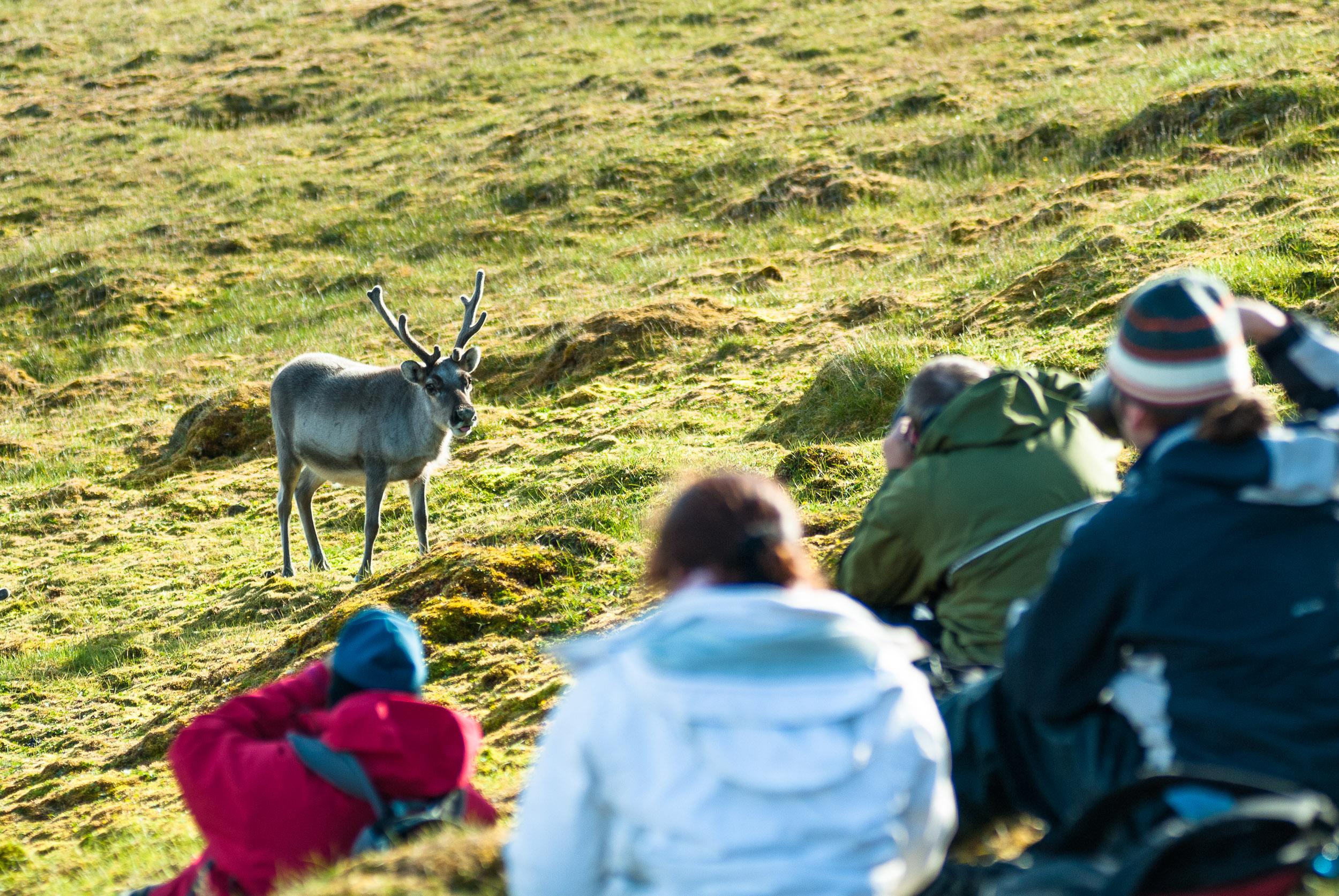 Tourists take photos of a curious Reindeer (Rangifer tarandus), Isfjorden, Oscar II Land, Spitsbergen/Svalbard, Norway. Reindeeer hunting in Spitsbergen/Svalbard was banned in 1925.