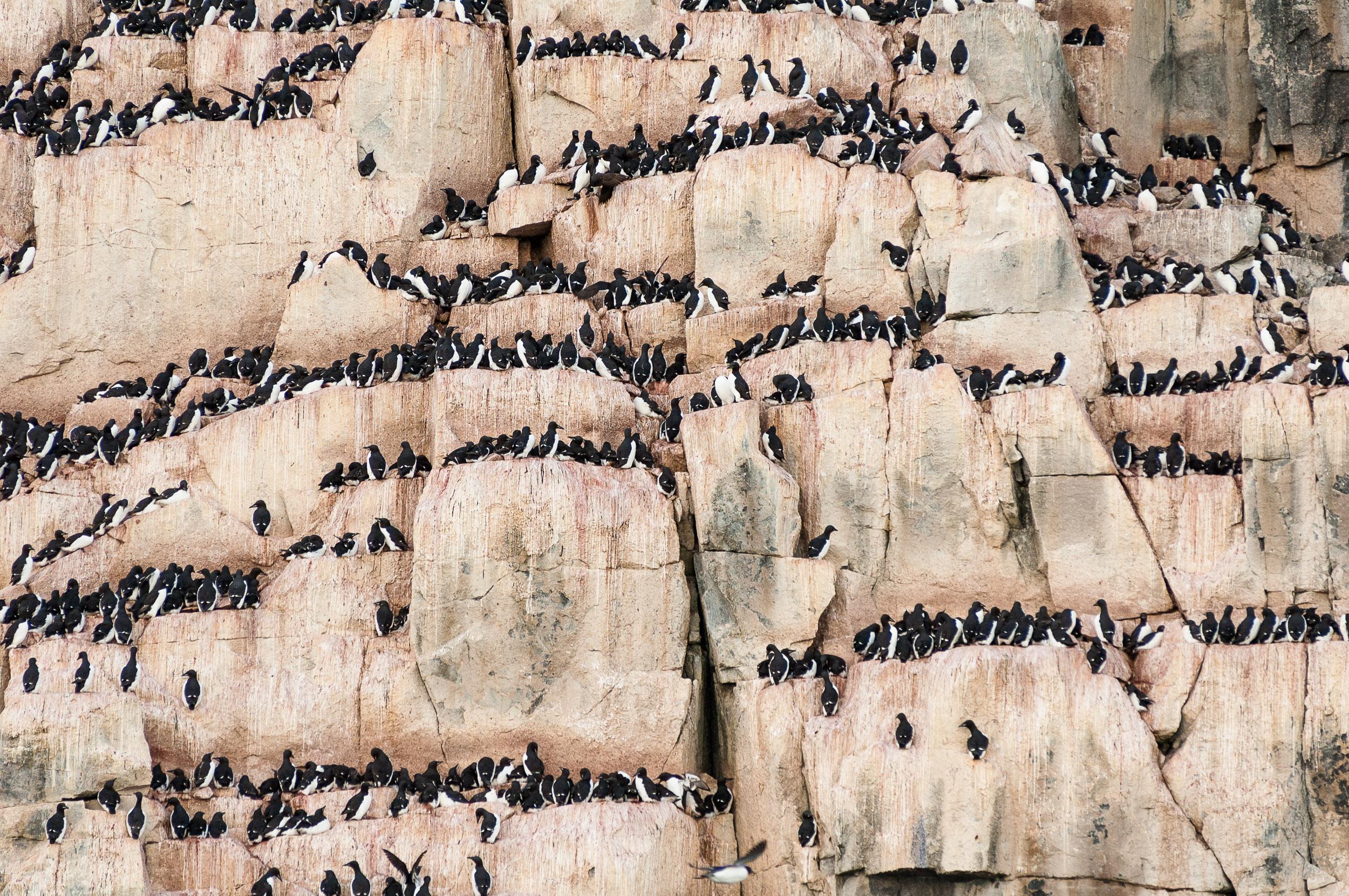 Brünnich's guillemot (Uria lomvia), bird colony on a cliff, Hinlopen Straight, Svalbard, Norway.