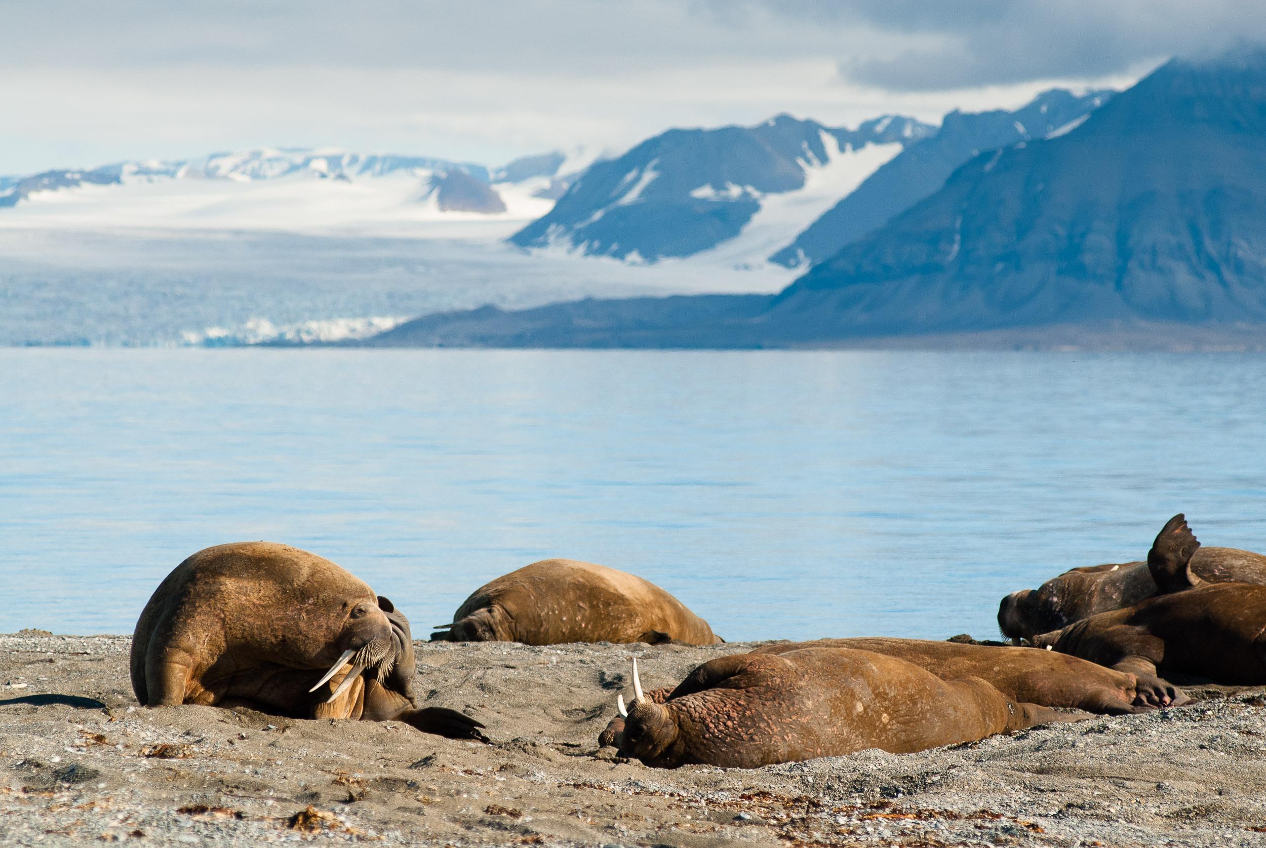 Walruses on a beach, Poolepynten, Broggerhalvoya, Prins Karl Forland, Svalbard, Norway.