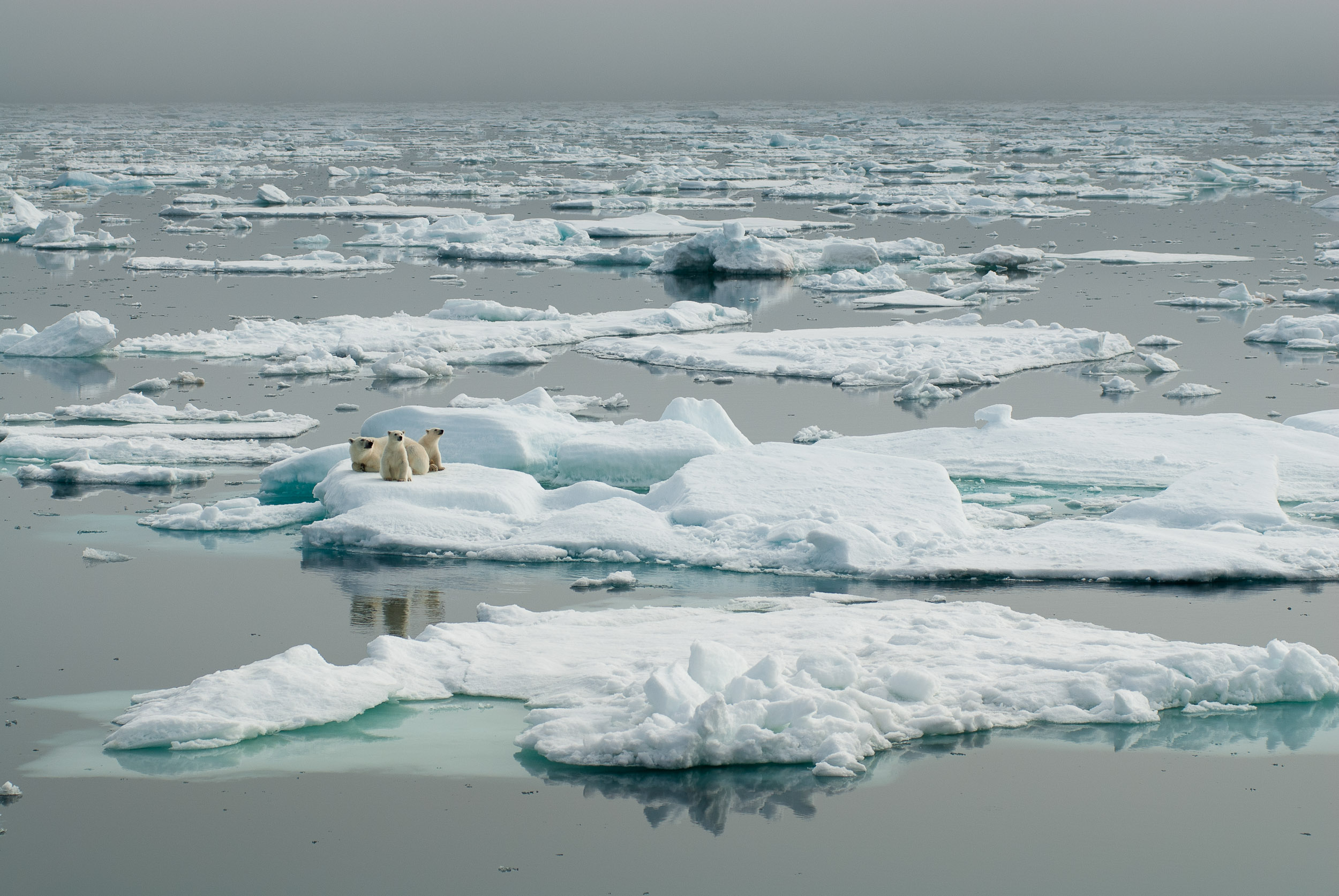 Polar bear and cubs, Svalbard (Norway). © www.thomaspickard.com
