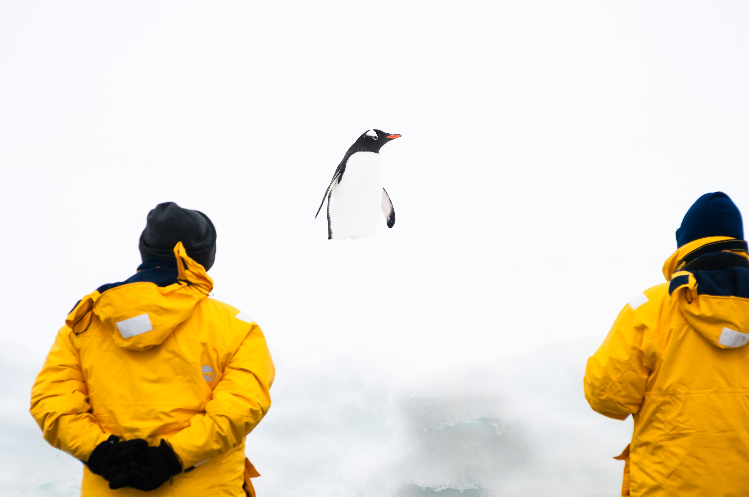 Tourists watching a Gentoo Penguin (Pygoscelis papua) on a snowbank, Cuverville Island, Danco Coast, Graham Land, Antarctica.