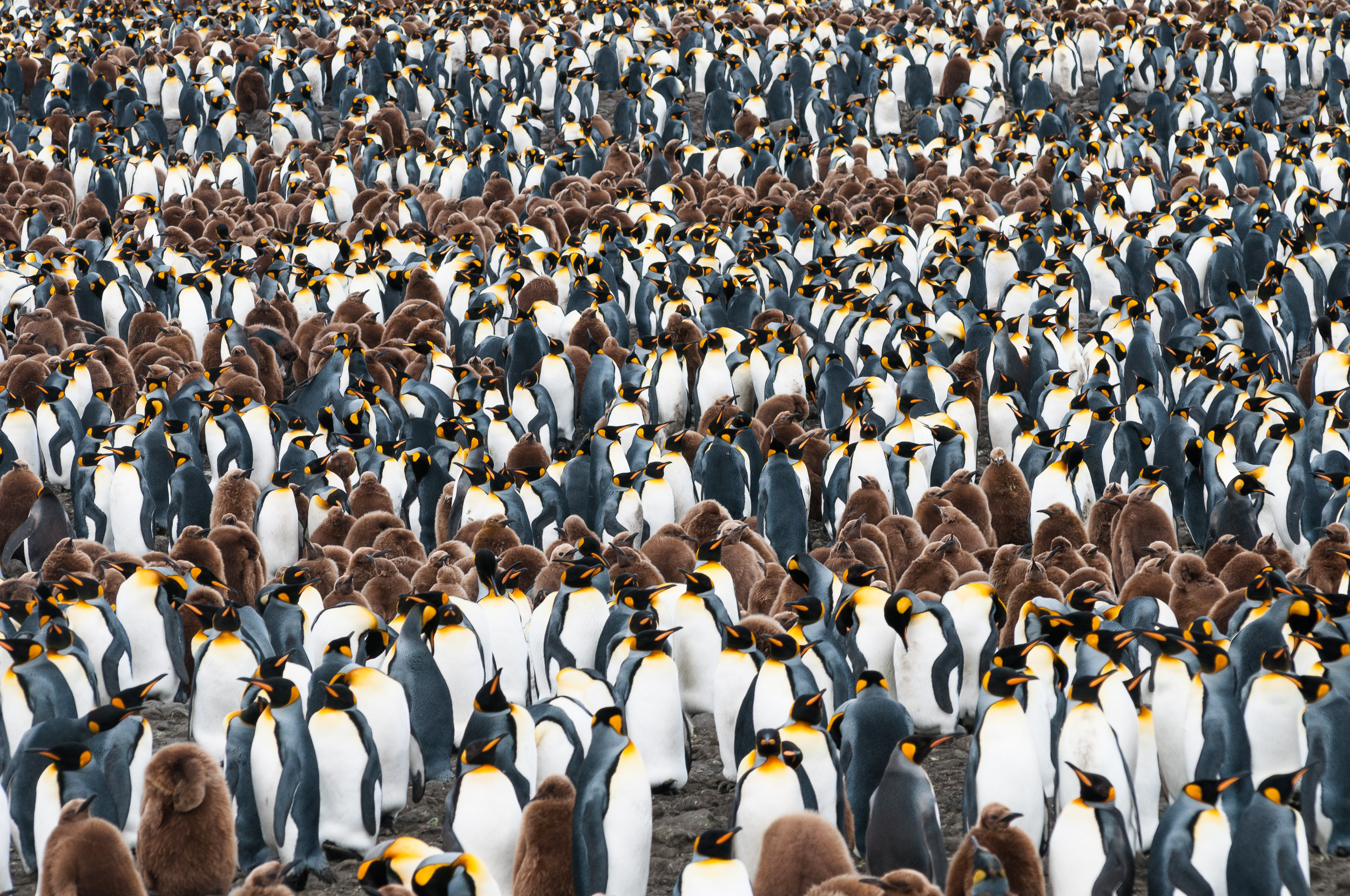 King Penguins (Aptenodytes patagonicus), Salisbury Plain, South Georgia. Salisbury Plain contains the second largest King Penguin (Aptenodytes patagonicus) on South Georgia, with an estimated 250,000 birds during moulting season.