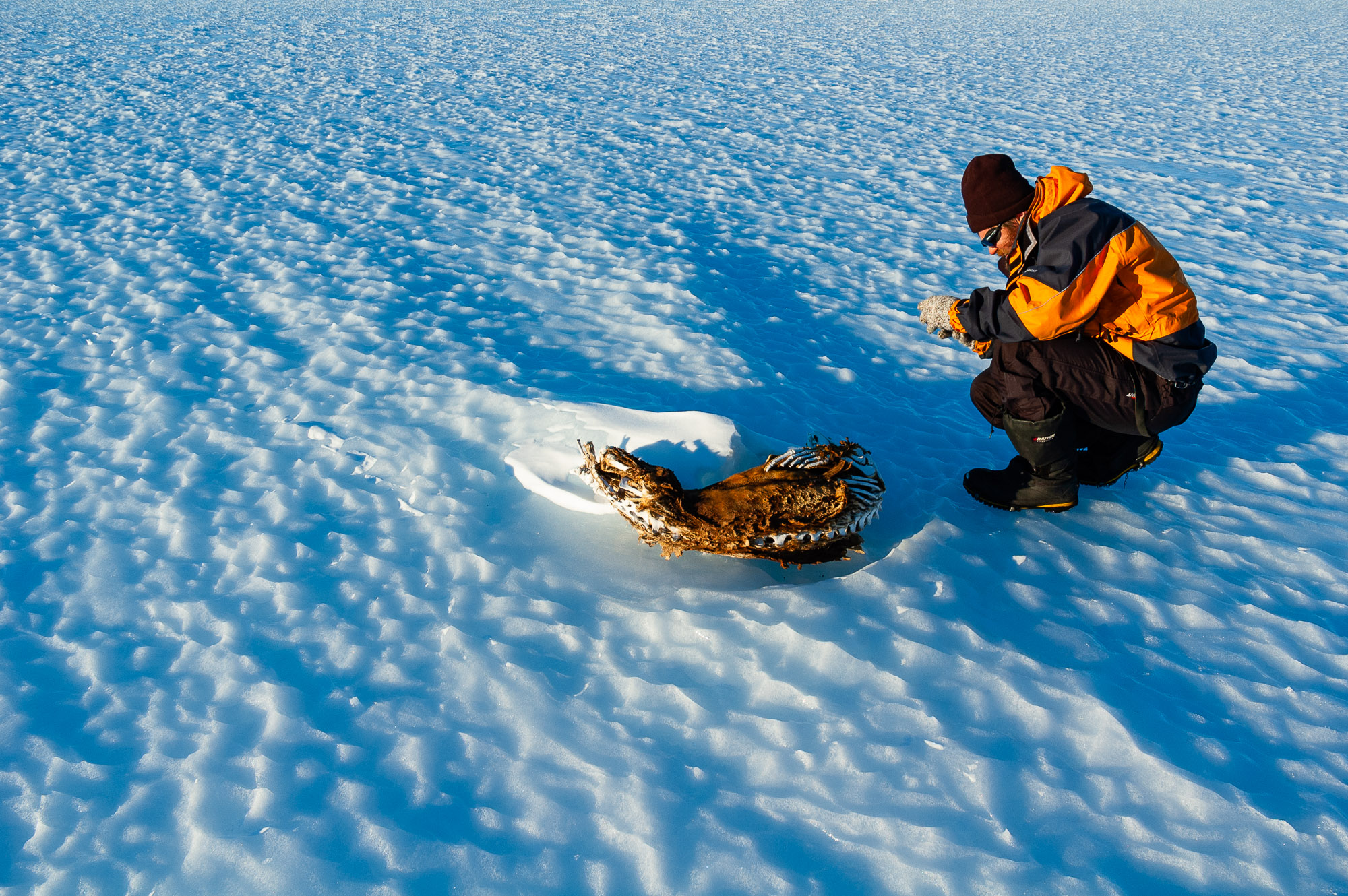Researcher taking a photograph of a dead, frozen seal inland from Mawson Station, South Masson Range, Framnes Mountains, Mac Robertson Land, Antarctica.