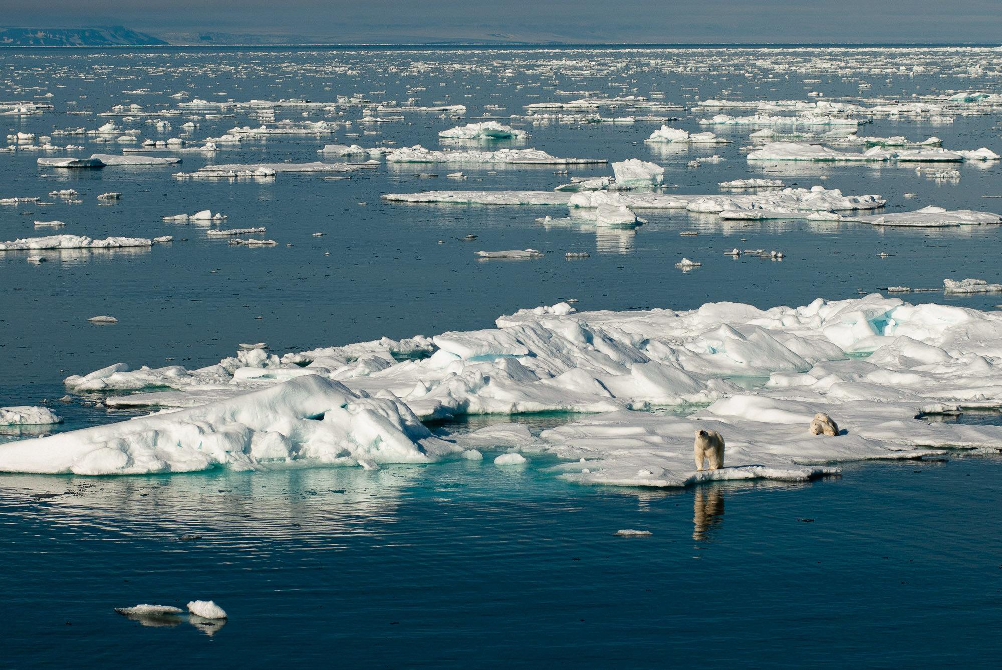 Polar bears, Svalbard. © www.thomaspickard.com