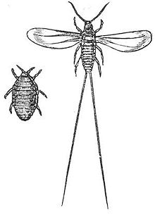Sketch of the cochineal beetle