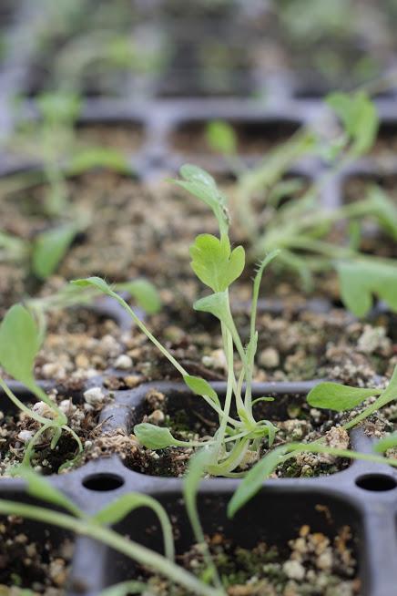 icelandic poppy seedlings