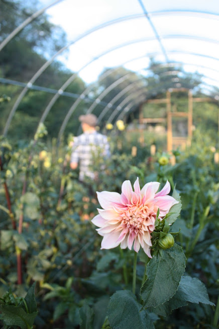 The hoophouse in which we used to grow a lot of our dinnerplate dahlias