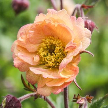 Geum 'Mai Tai' (courtesy of  Midwest Ground Covers )