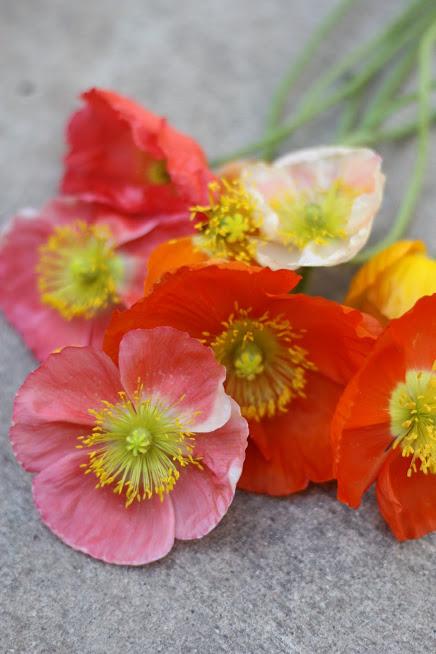 icelandic poppies.JPG
