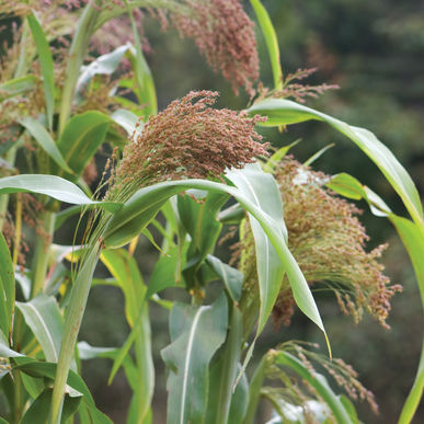 Red Broomcorn, photo courtesy of  Johnny's Select Seeds