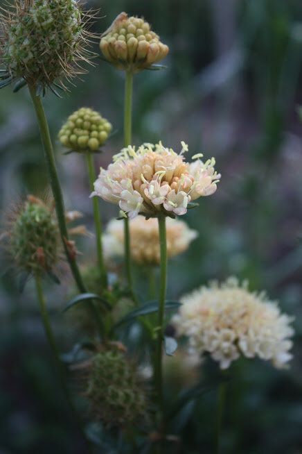 Hardy annuals like this beautiful annual scabiosa 'Fata Morgana' can be overwintered for early and easy blooms next year
