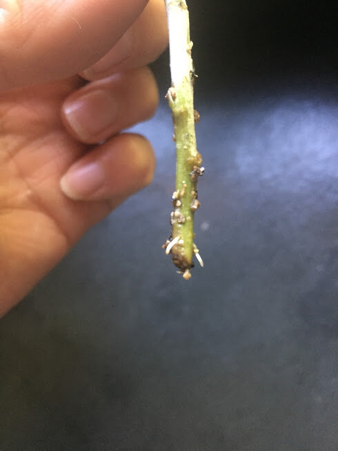 A stem that is starting to sprout roots! I get so happy and excited when I see those little white roots starting to form, even after rooting hundreds of cuttings
