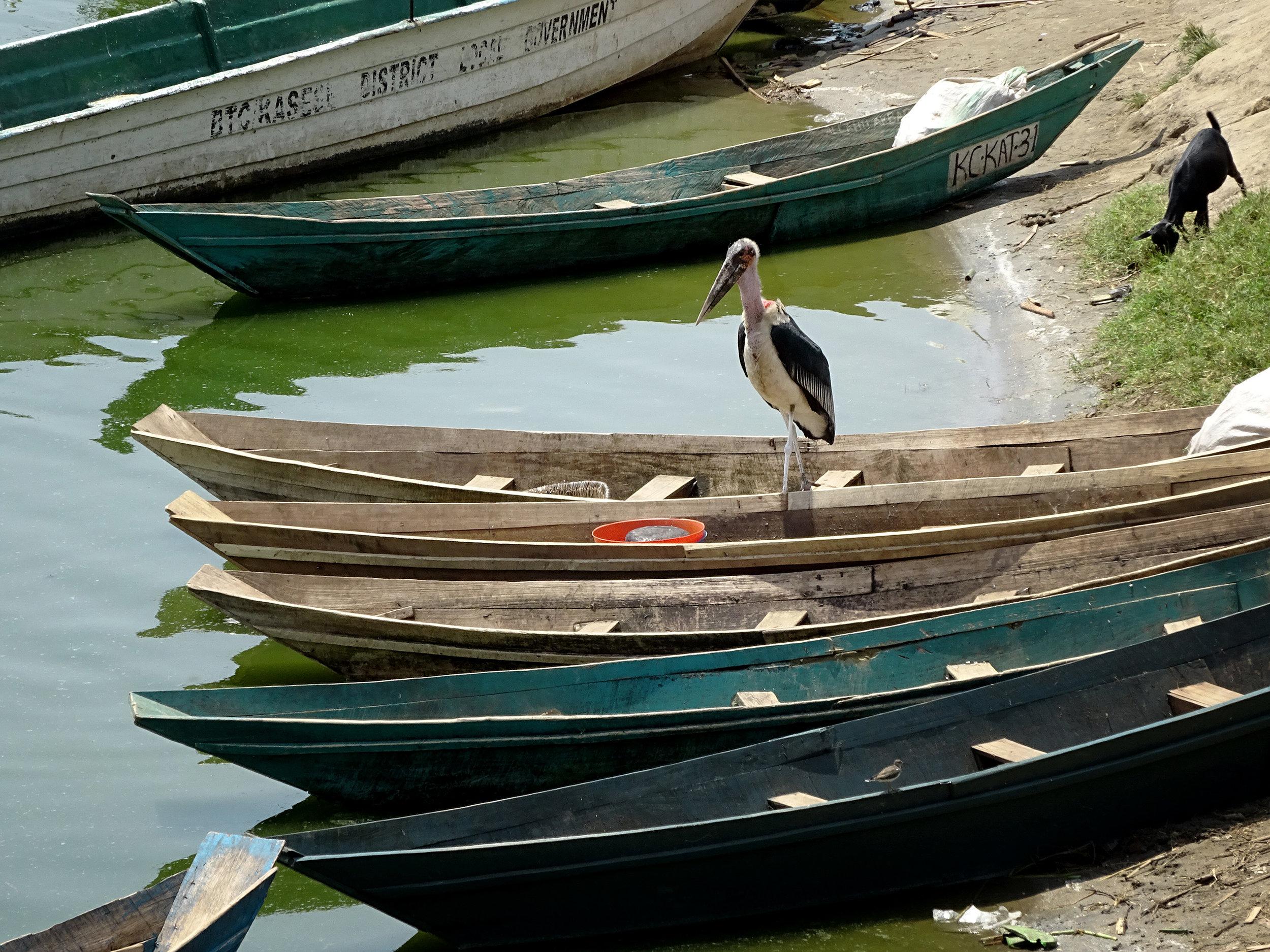 Ein Marabu stöbert auf den Fischerbooten am weißen Nil in Uganda .jpg
