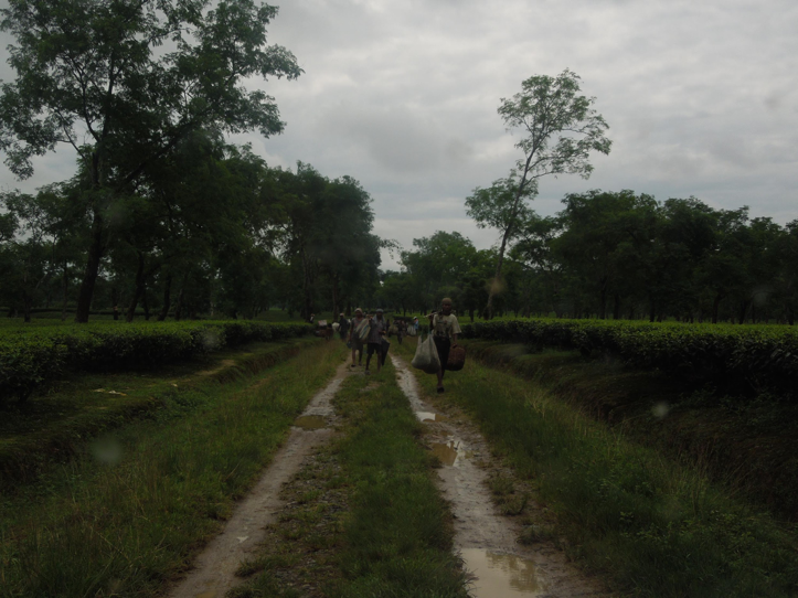 Photo by JBL (in a tea garden in Assam) - the trenches by the side of the tea-plant bed collect excess water - but also turn into breeding ground for mosquitoes