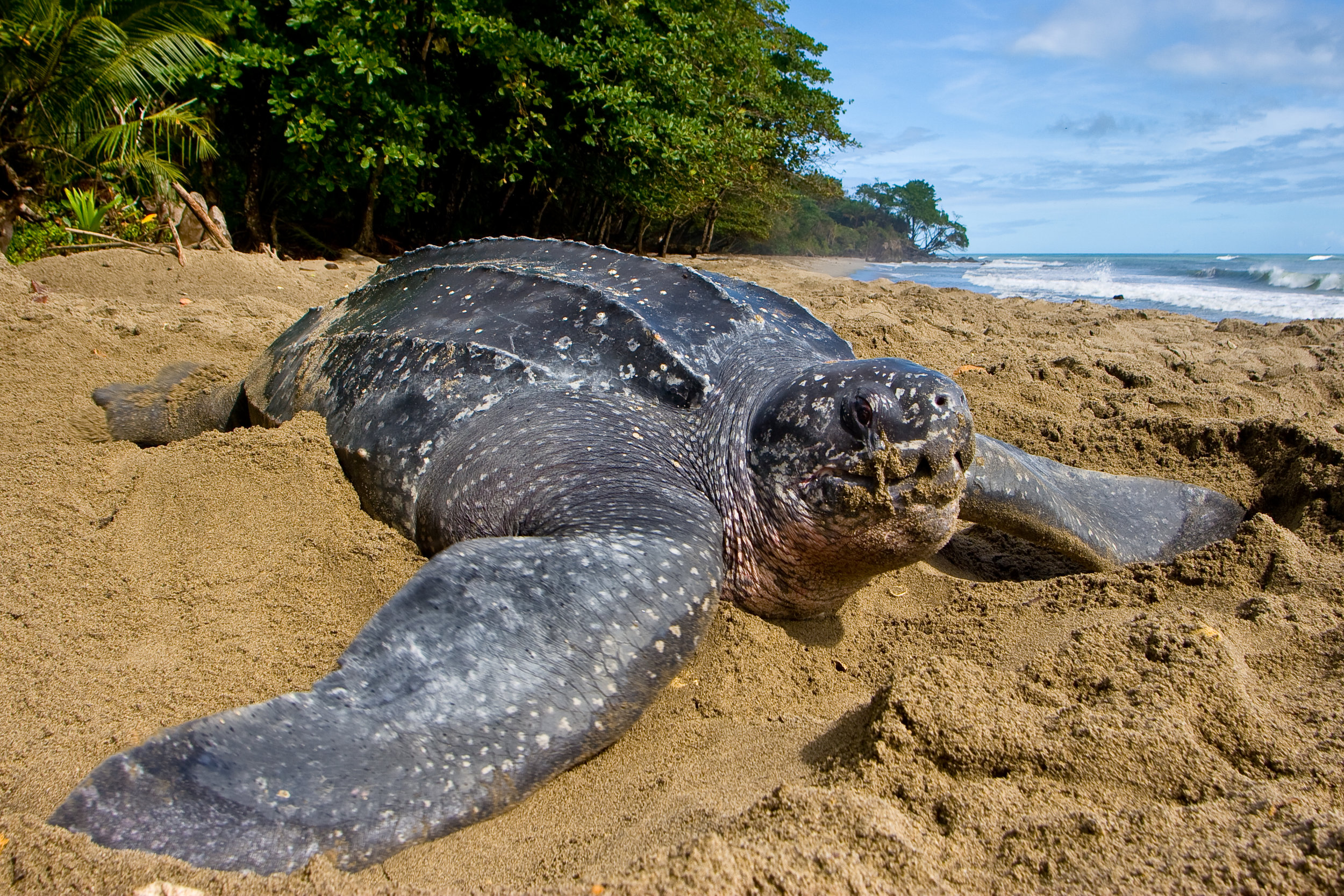 A leatherback turtle nests during daylight in Grande Riviere, Trinidad. © Brian J. Hutchinson