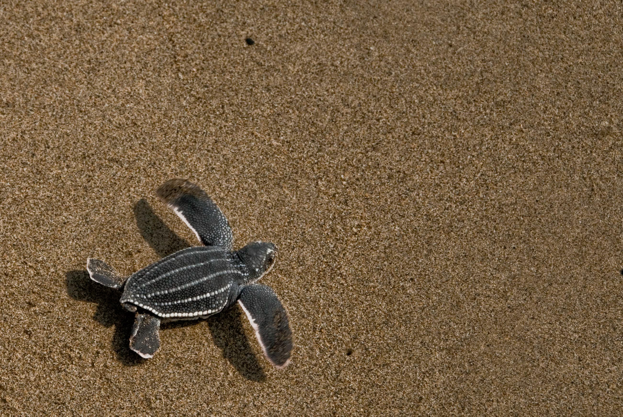 A leatherback hatchling crawls to sea in Armila, Panama. © Morrison Mast