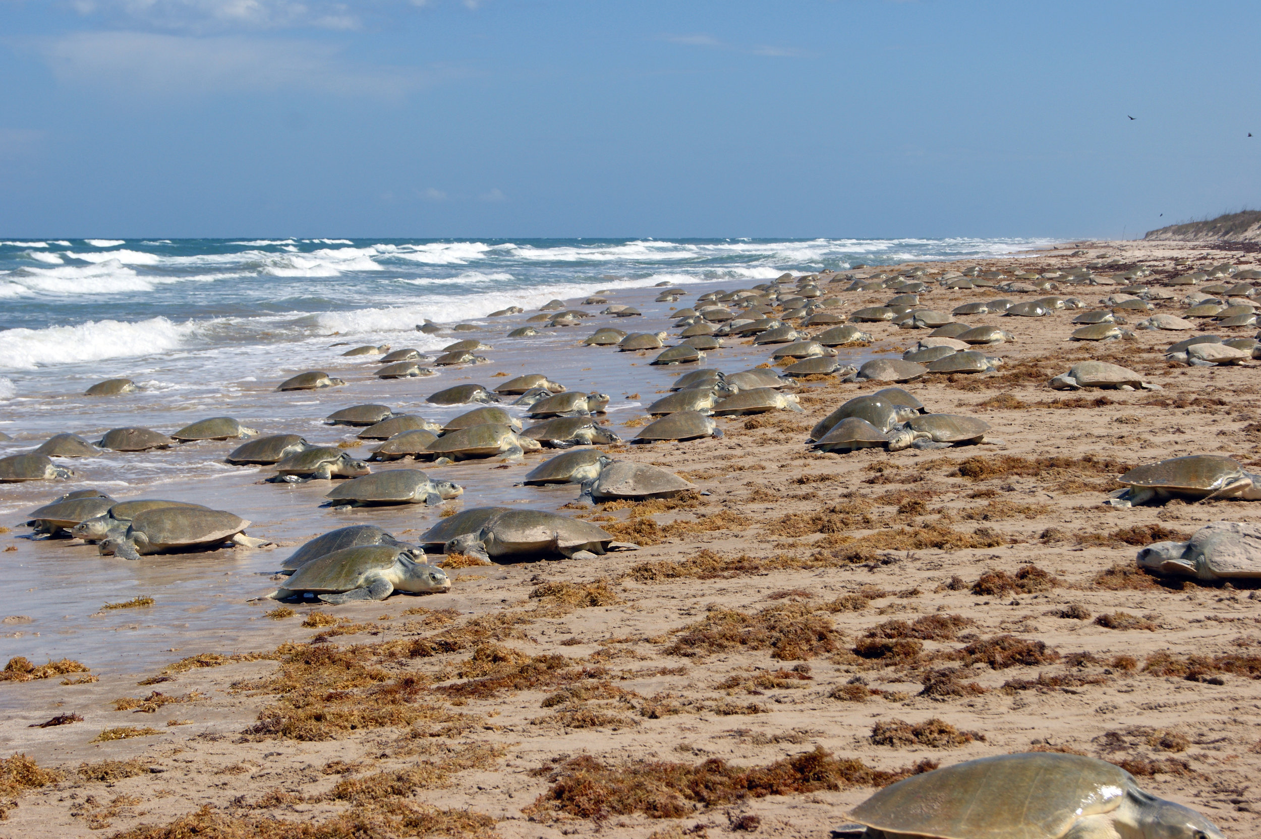 A large Kemp's ridley arribada in 2011 at Rancho Nuevo, Tamaulipas, Mexico is an encouraging sign of slow but steady population growth for this species that was once at the verge of extinction. © Toni Torres