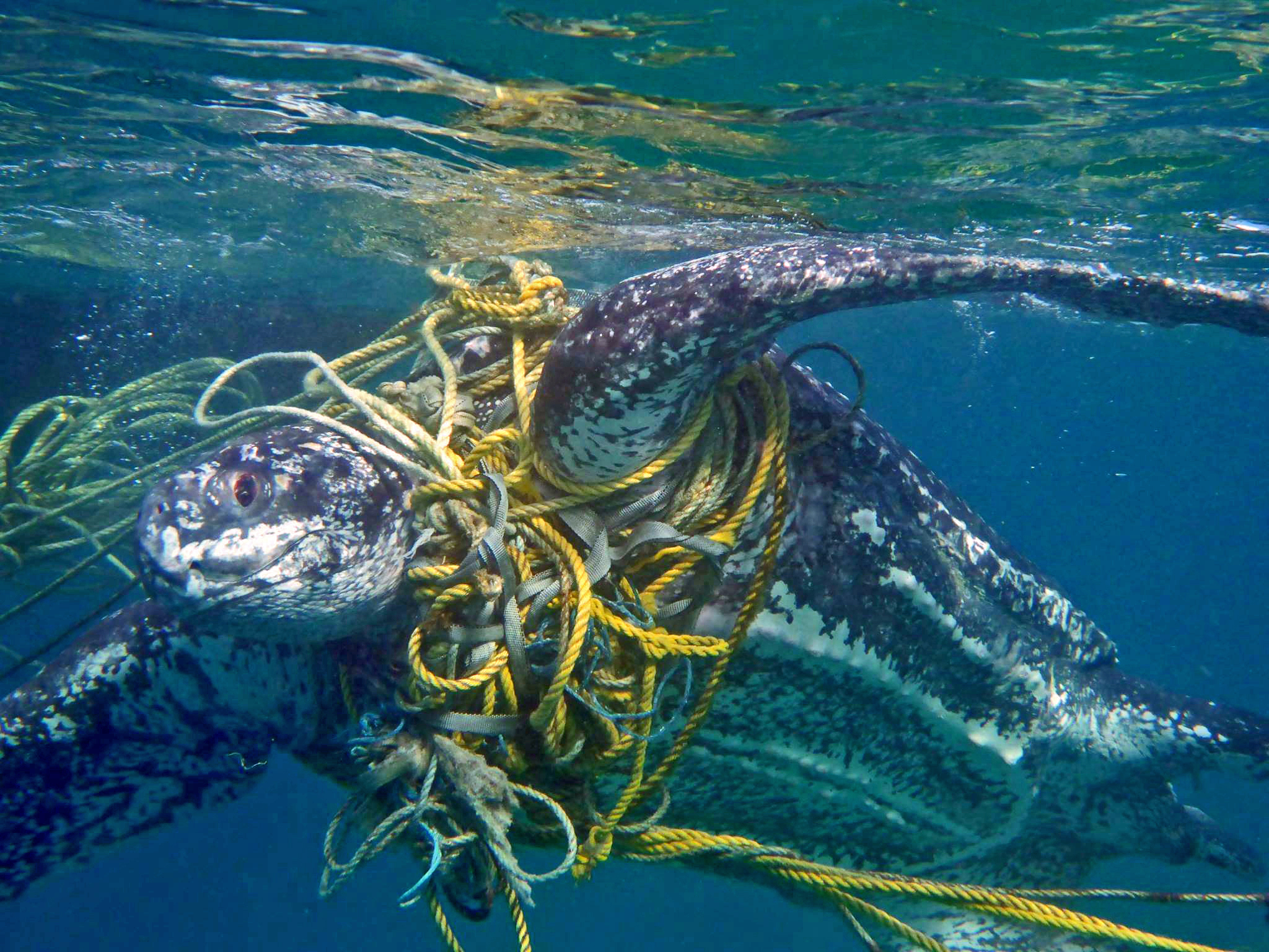 A leatherback entangled in fishing gear in Grenada. © Kate Charles