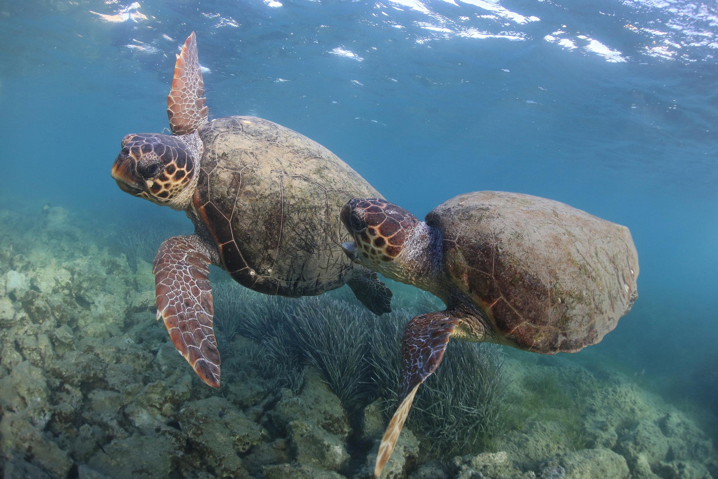 Loggerhead turtles © Kostas Papafitsoros