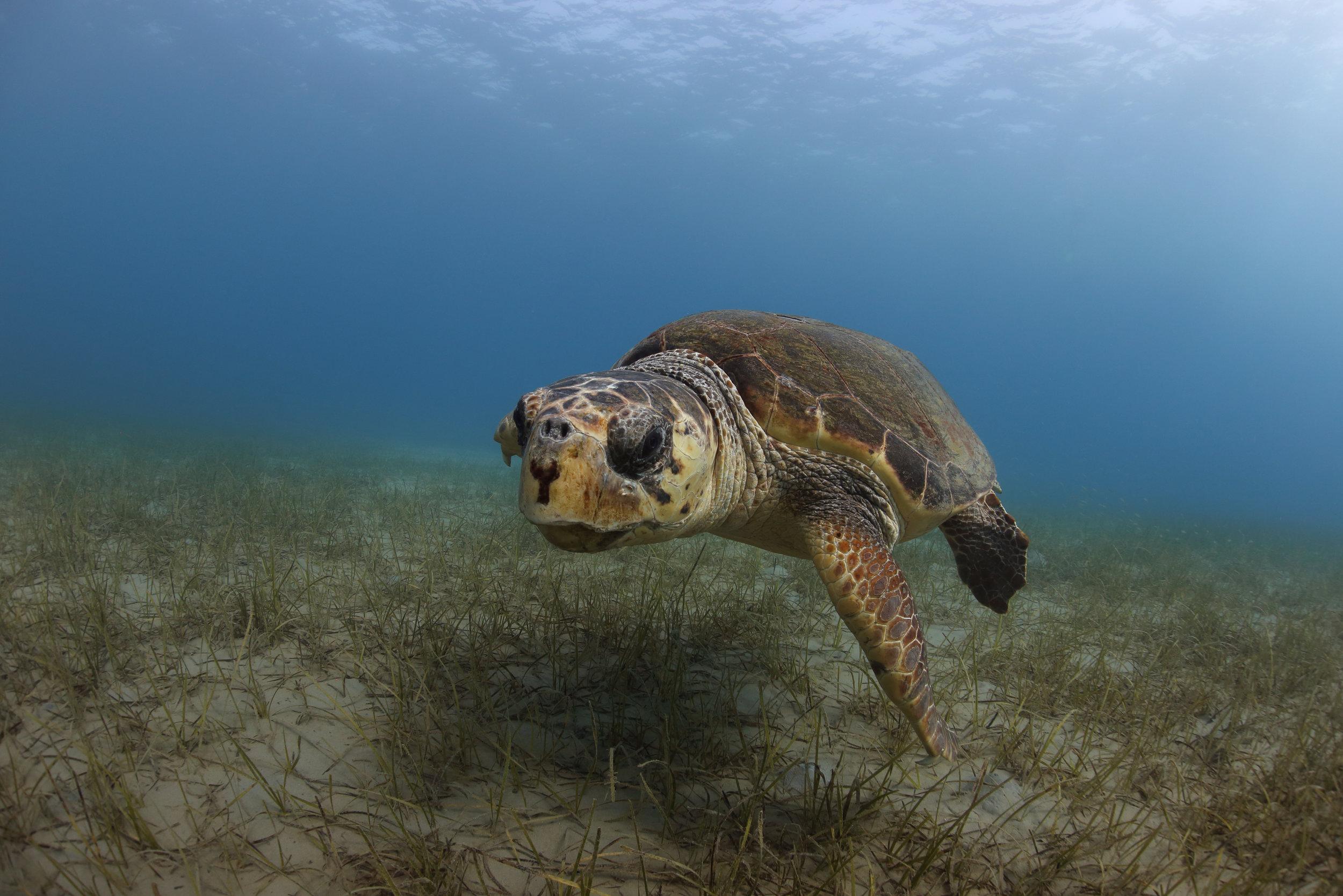 Loggerhead turtle © Kostas Papafitsoros