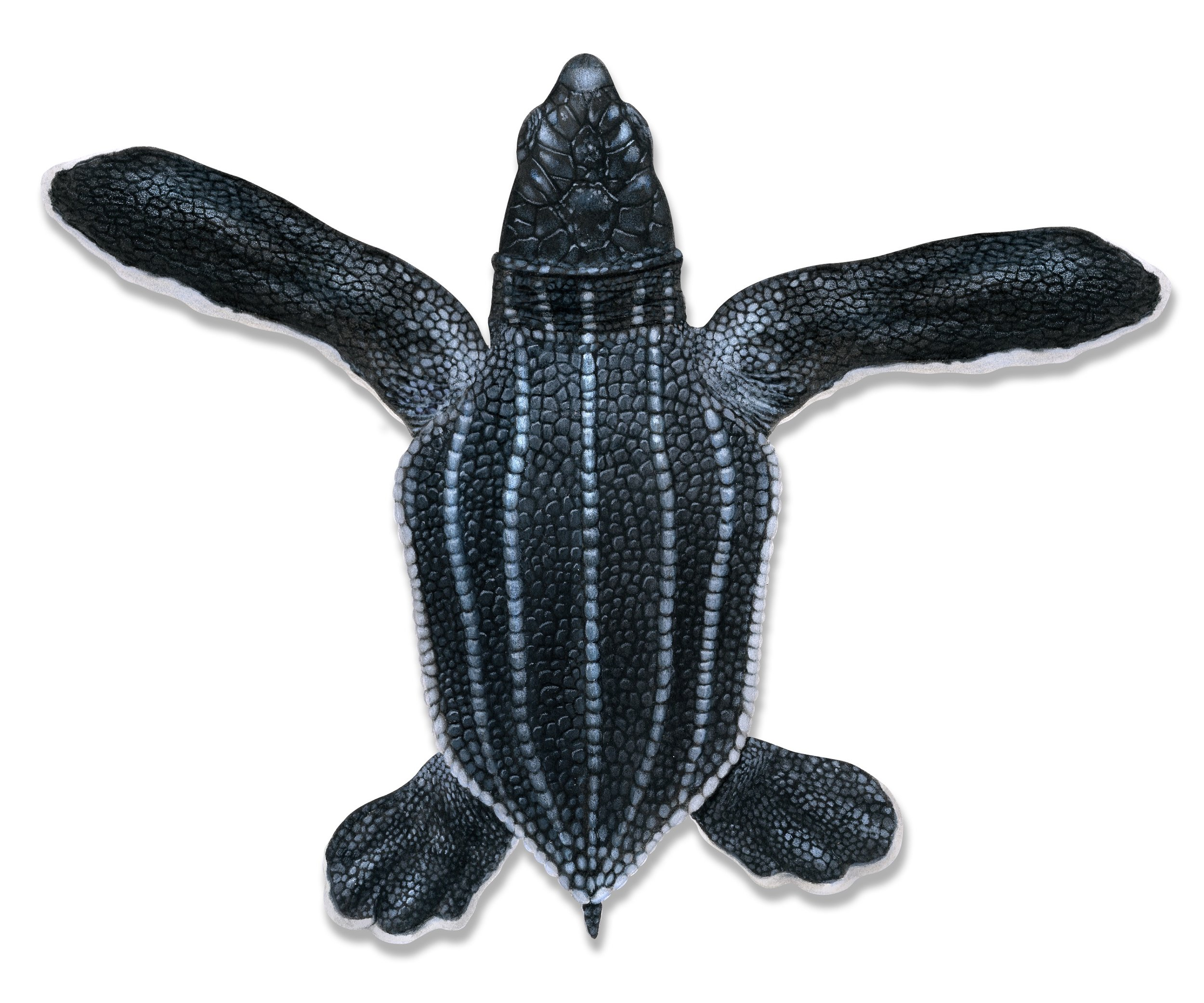 Hatchling leatherback illustration © Dawn Witherington