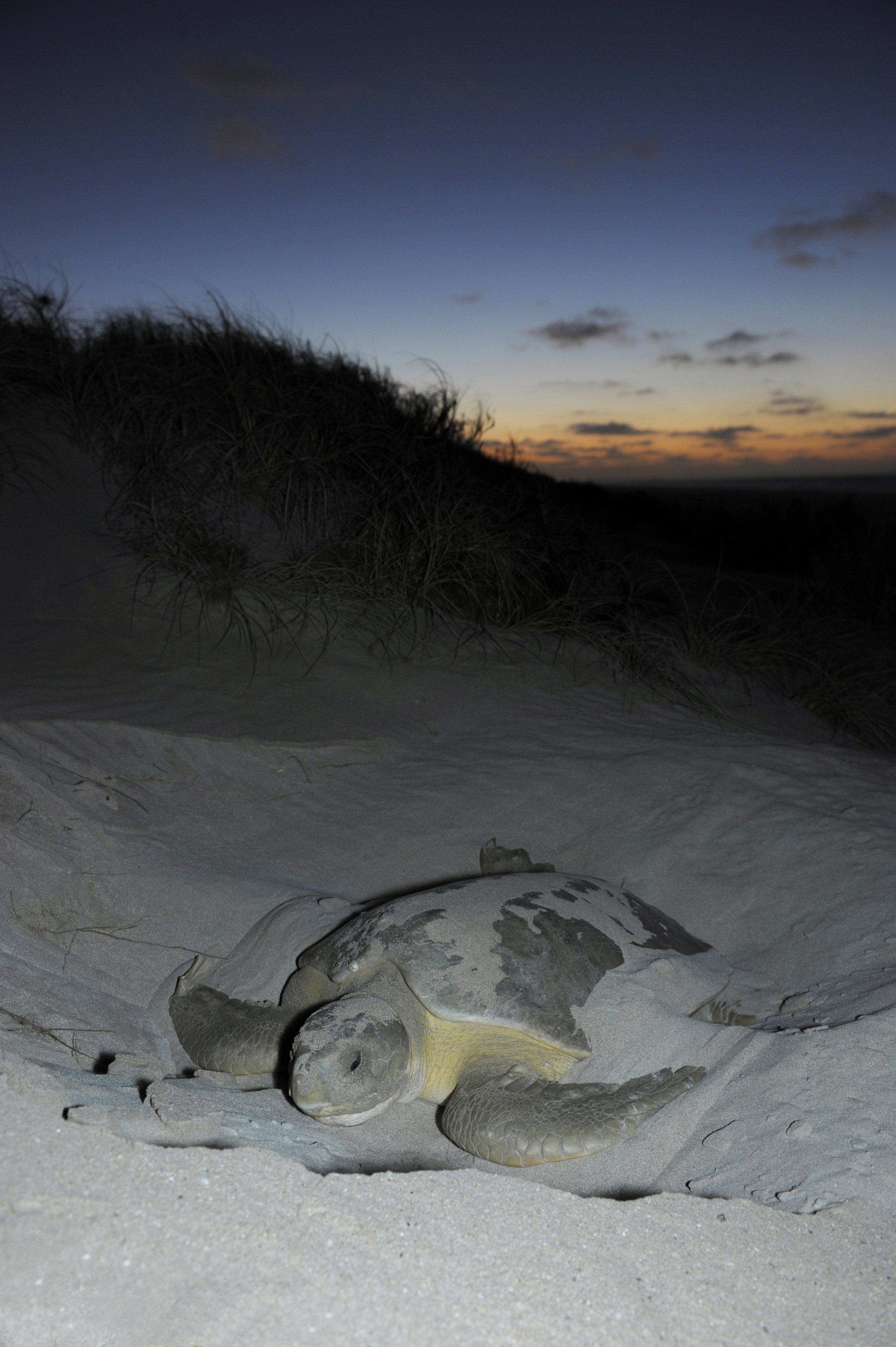 A flatback turtle nesting in Western Australia. © Calen Offield