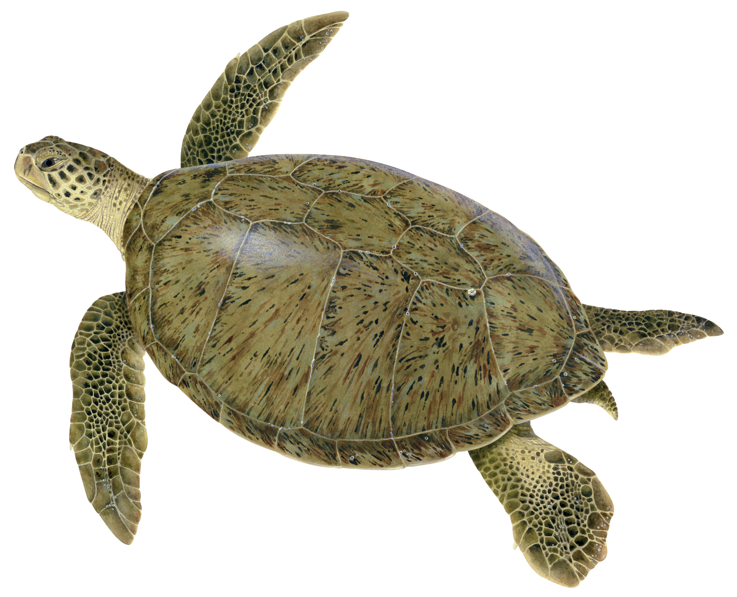 Illustration of an adult green turtle. © Dawn Witherington