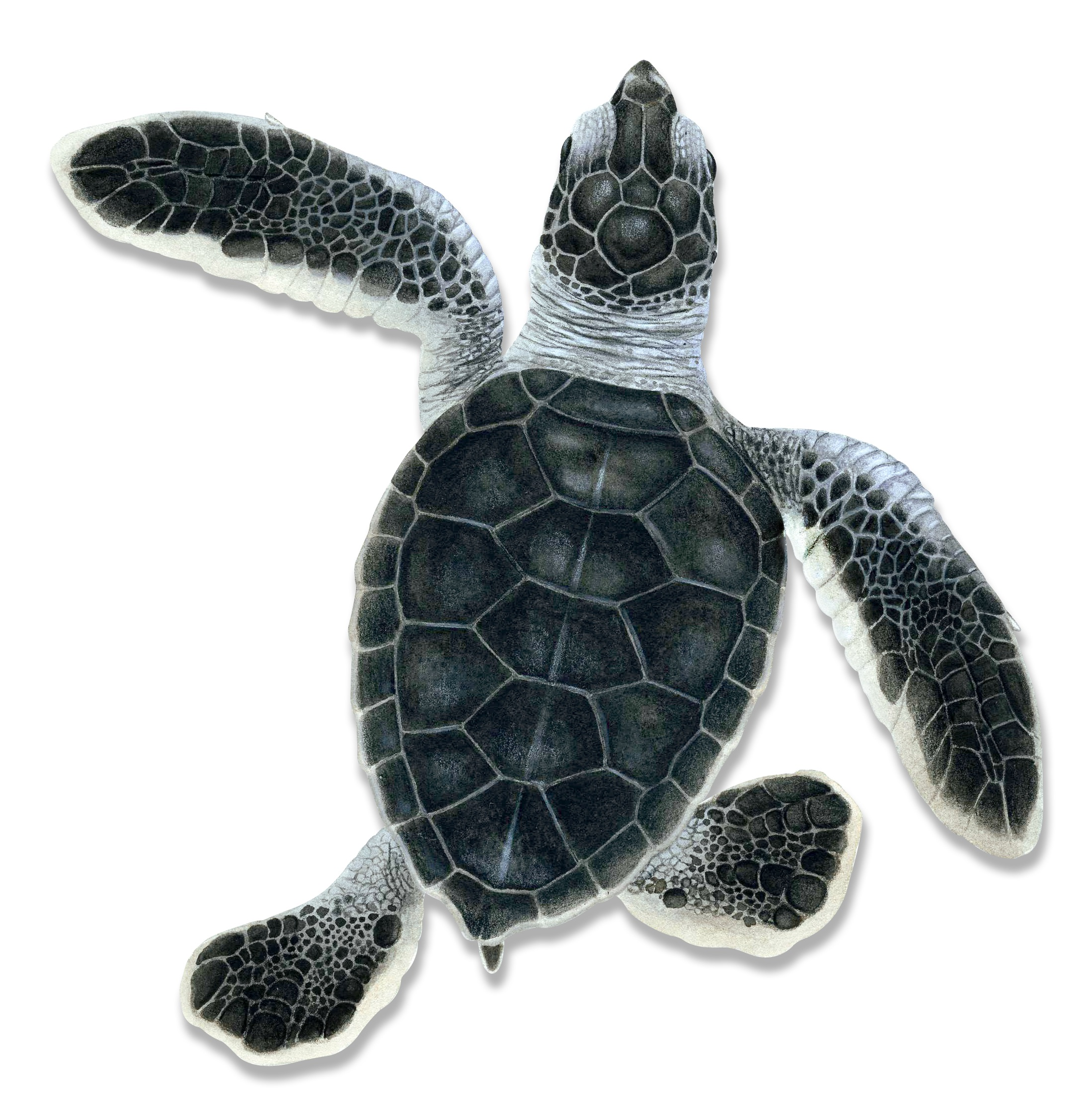 Illustration of a hatchling green turtle. © Dawn Witherington