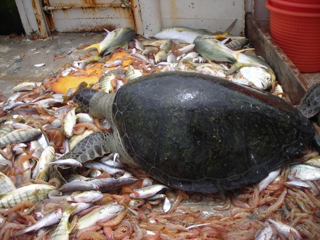 A green turtle incidentally captured in a shrimp trawl. © Michel Nalovic CRPMEM Guyane/WWF French Guiana