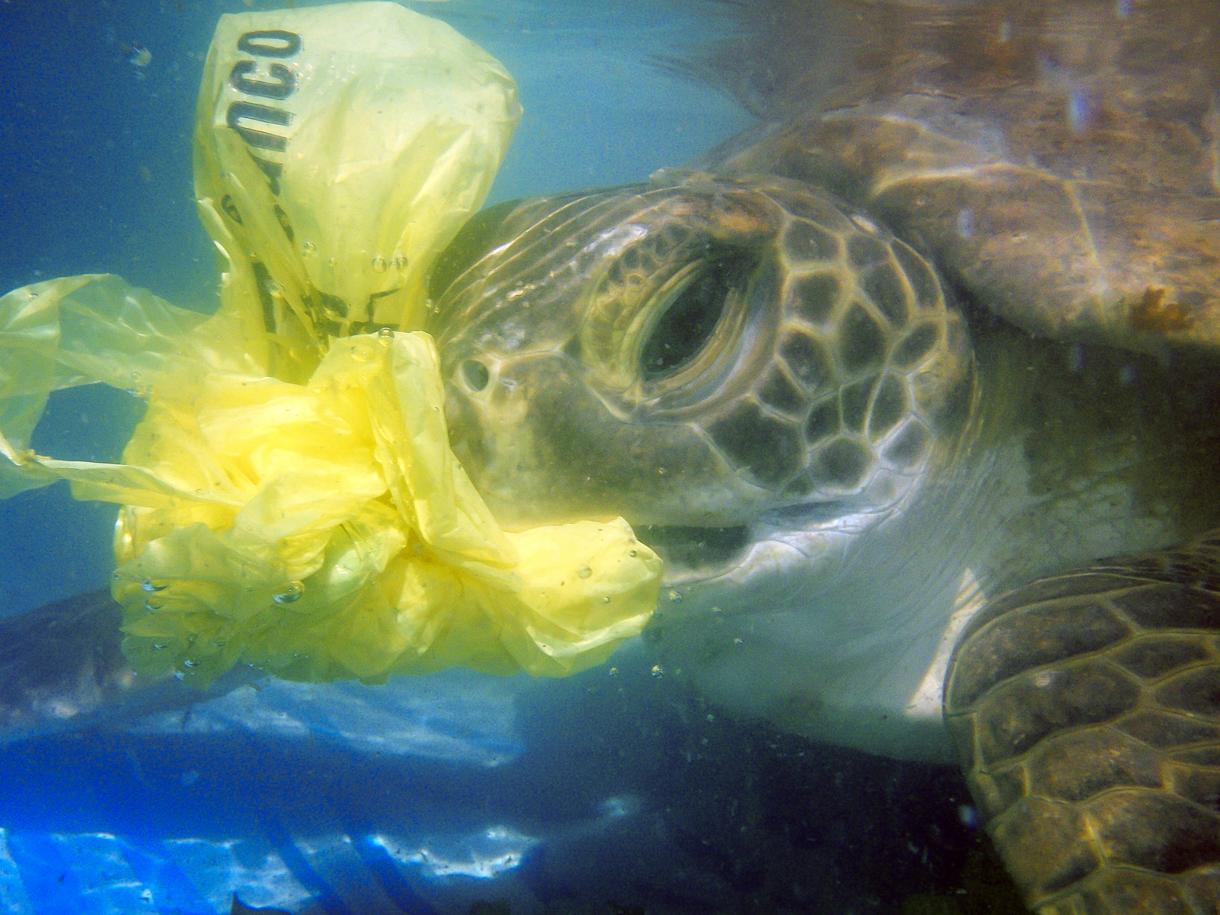 Plastic ingestion is a big and growing problem for sea turtles. © Karumbé