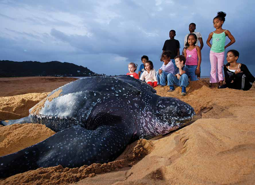 School children observe a rare daylight-nesting leatherback in French Guiana. © THIERRY MONTFORD FOR WWF