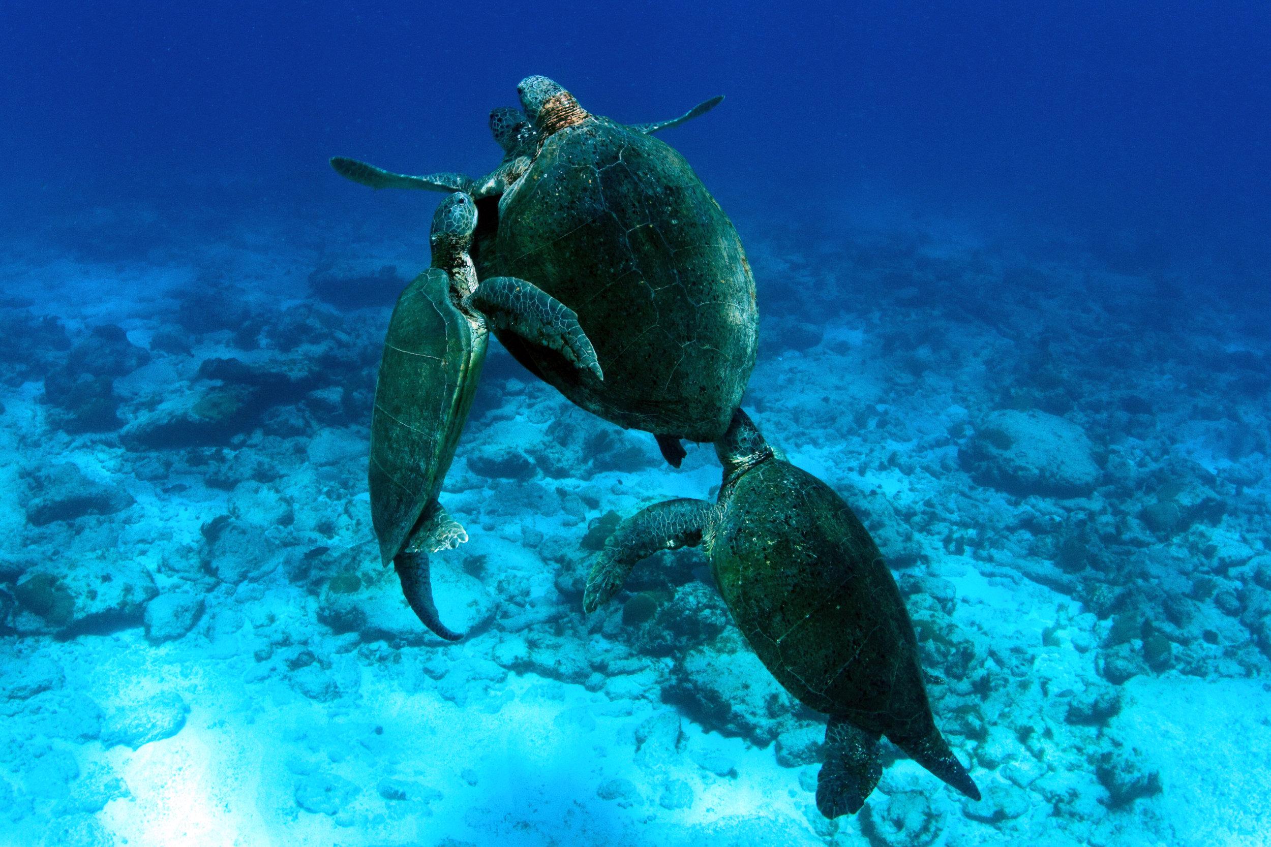 Mating green turtles accompanies by satellite males near Aves Island, Venezuela. © Gaby Carias Tucker