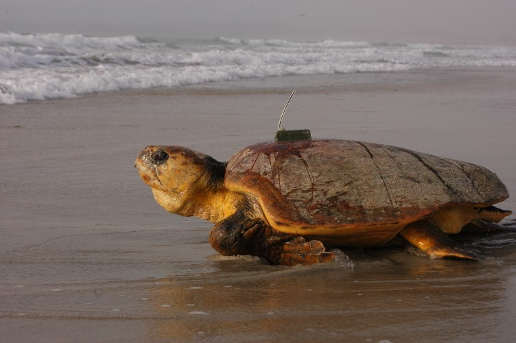 A loggerhead with a satellite tag is released © Nicolas Pilcher