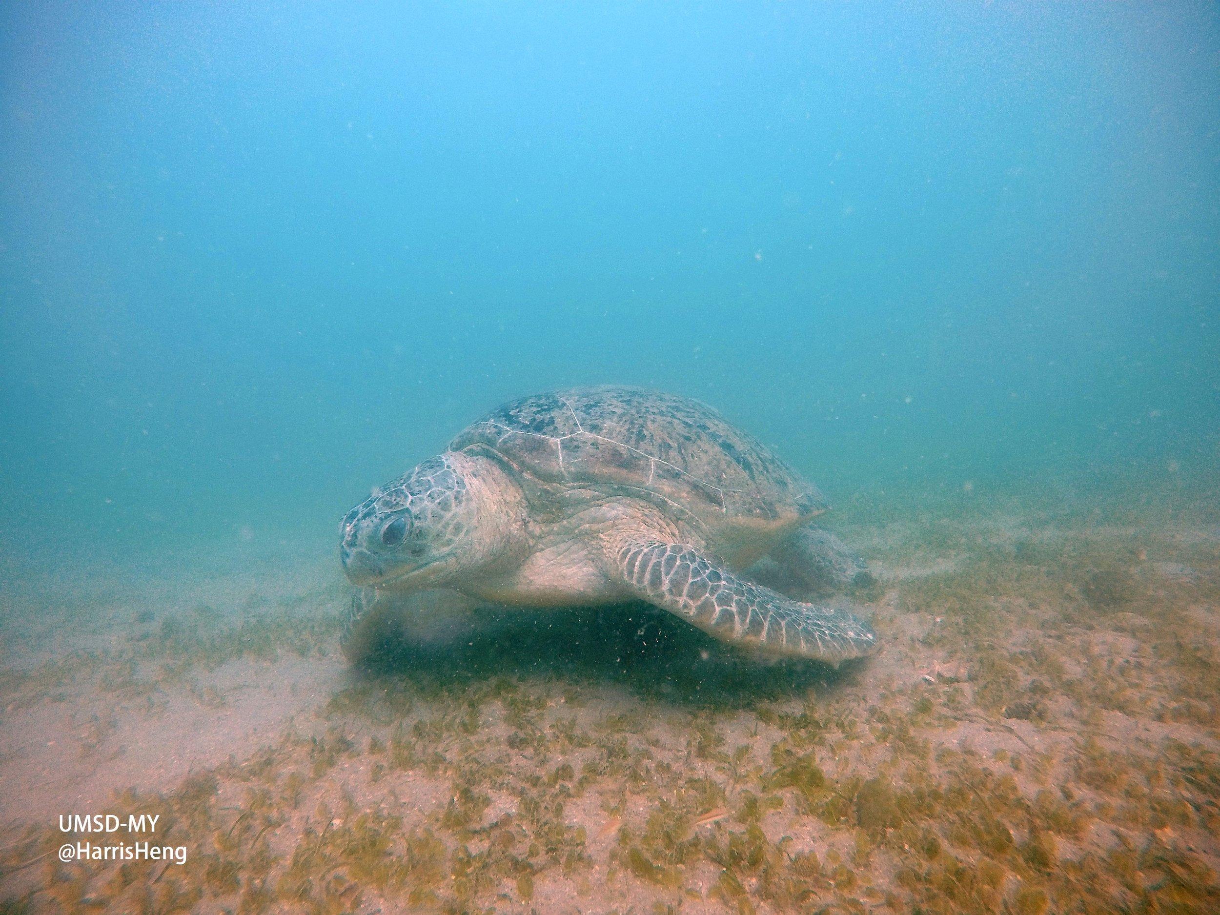 Harris Wei-Khang Heng green turtle 1.jpg