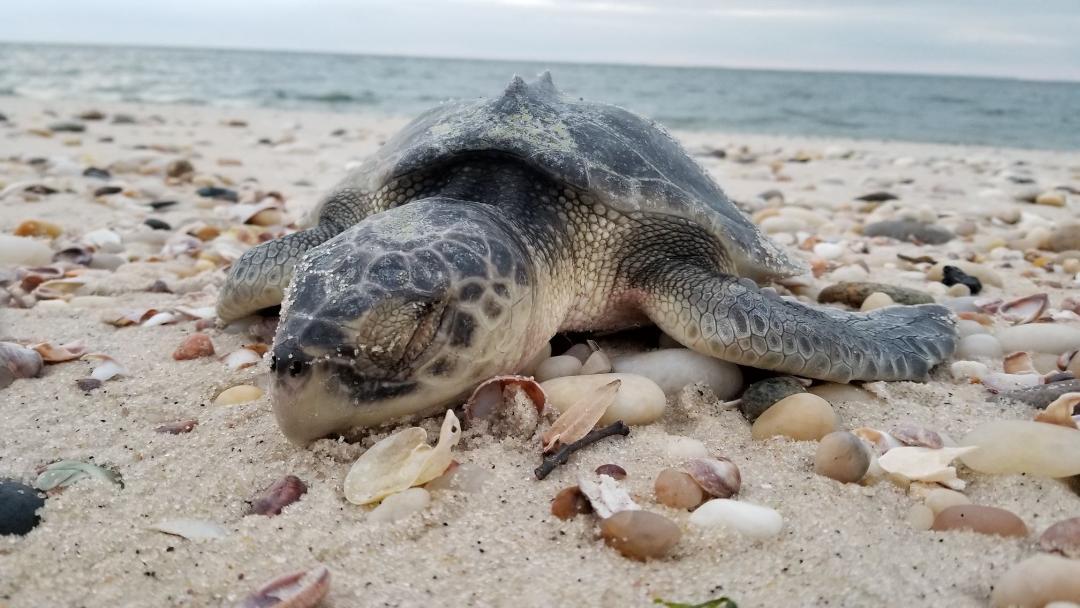 RFMRP NY  Stranded Turtle.jpg