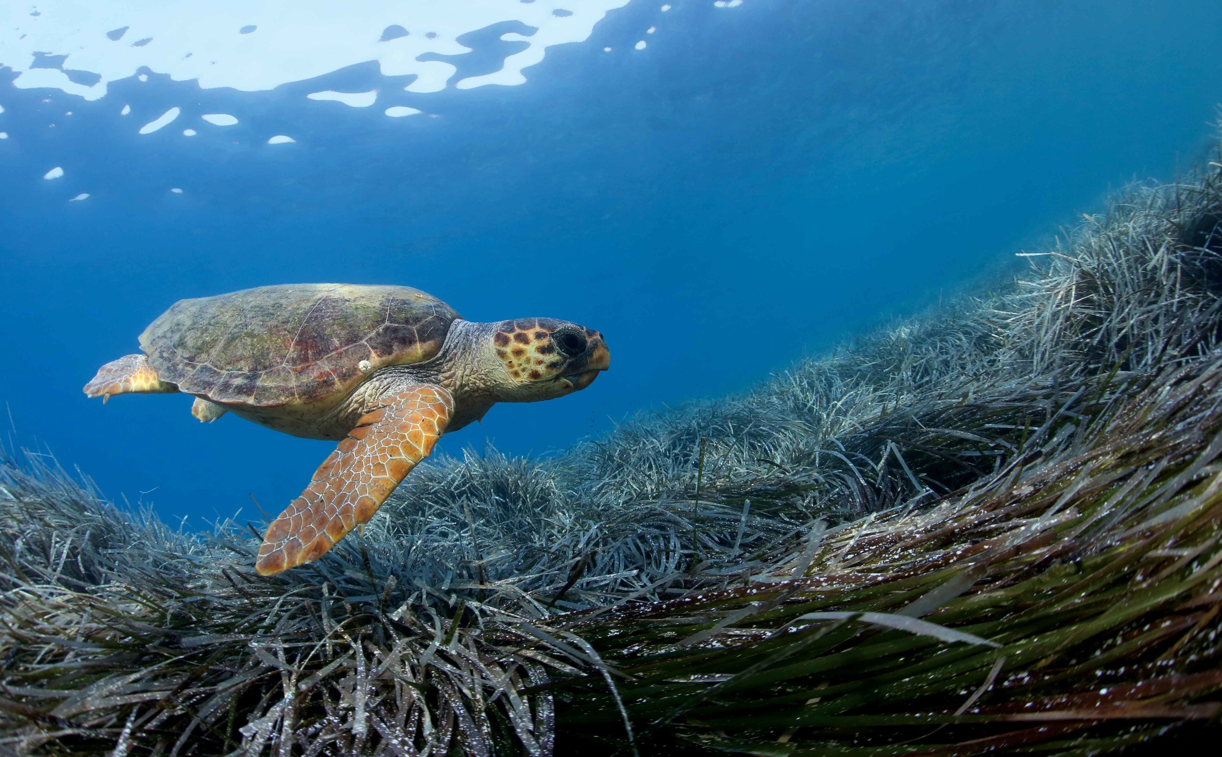 A loggerhead turtle swims above endemic seagrass ( Posidonia oceanica ) in the Mediterranean Sea. © KOSTAS PAPAFITSOROS