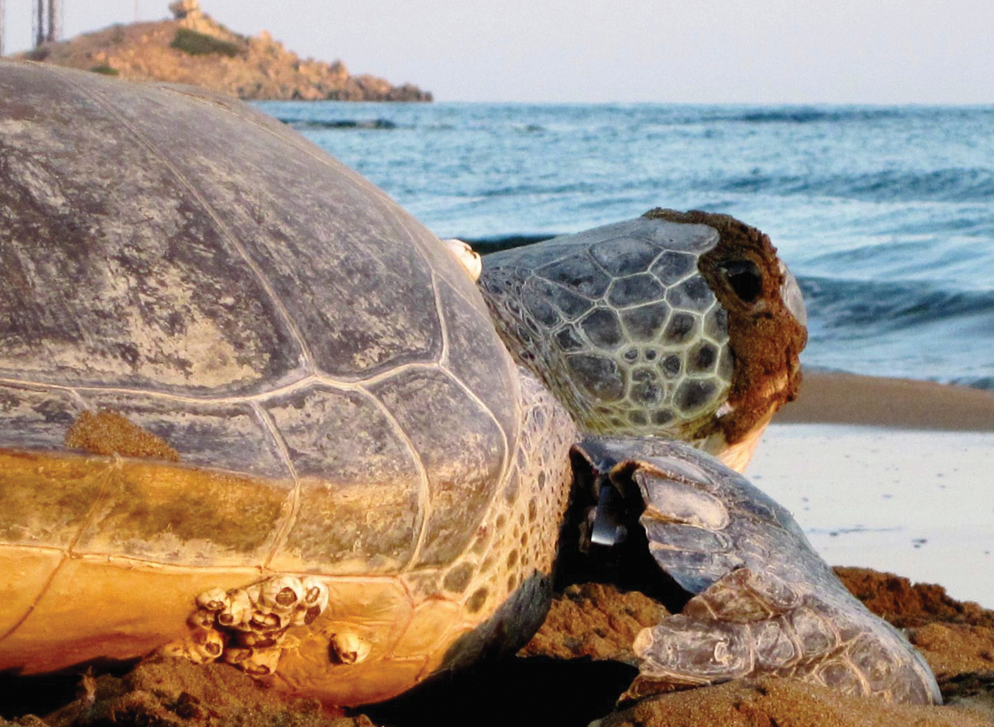 A green turtle returns to sea after nesting on the island of Cyprus. © LAWRENCE SAMPSON