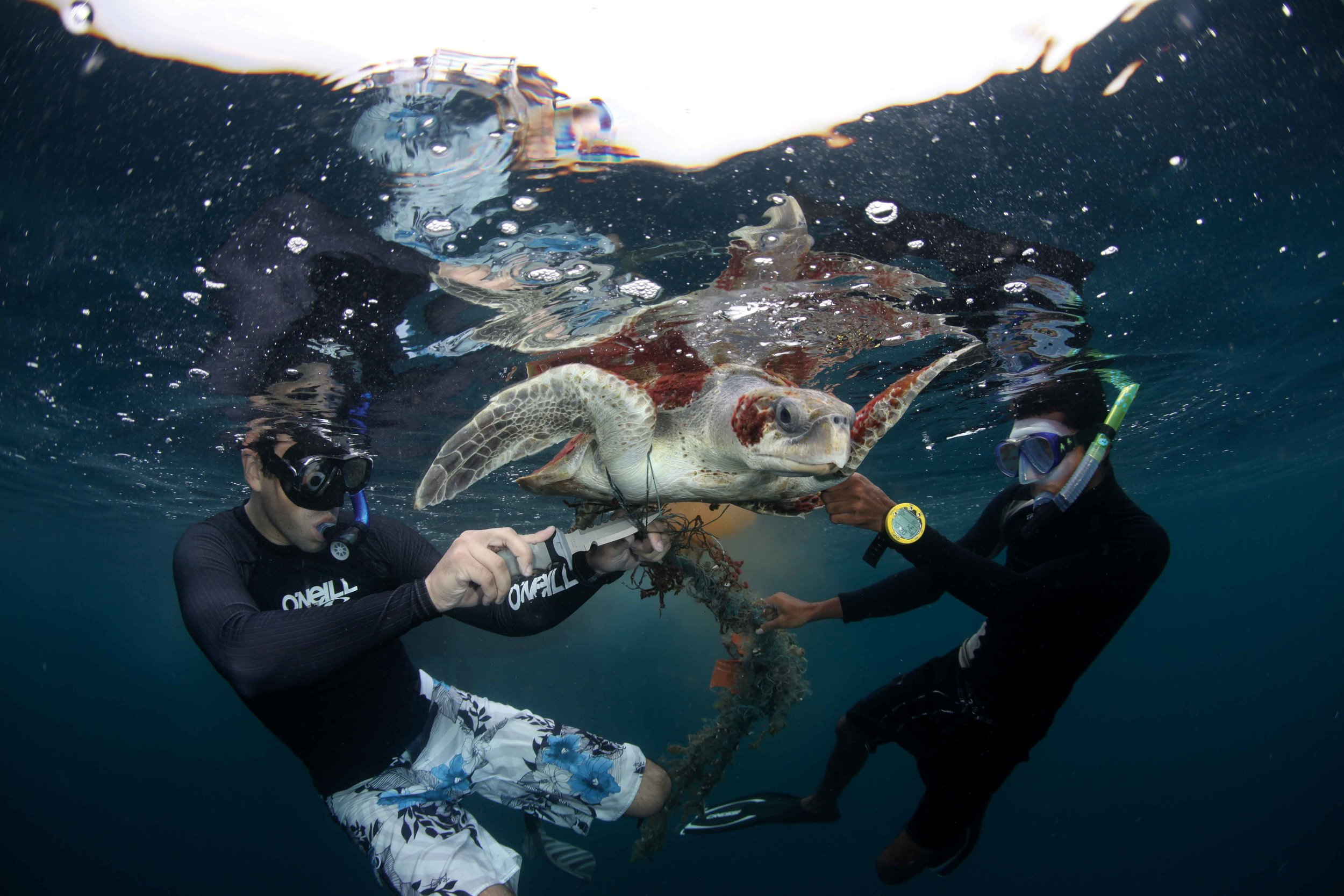 Local divers disentangle an olive ridley turtle from a ghost net in Baa Atoll, Maldives. © THOMAS BADSTUBNER