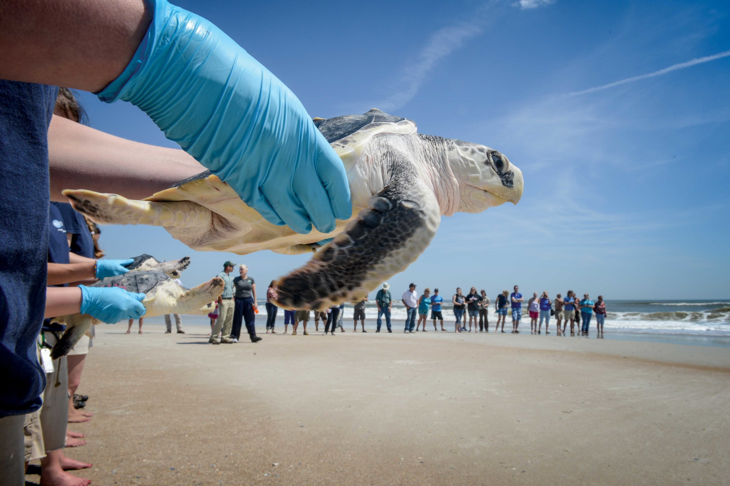 In 2014, members of the New England Aquarium Marine Animal Rescue Team release 31 rescued and rehabilitated sea turtles at Little Talbot Island in Florida, U.S.A. © ESTHER HORVATH