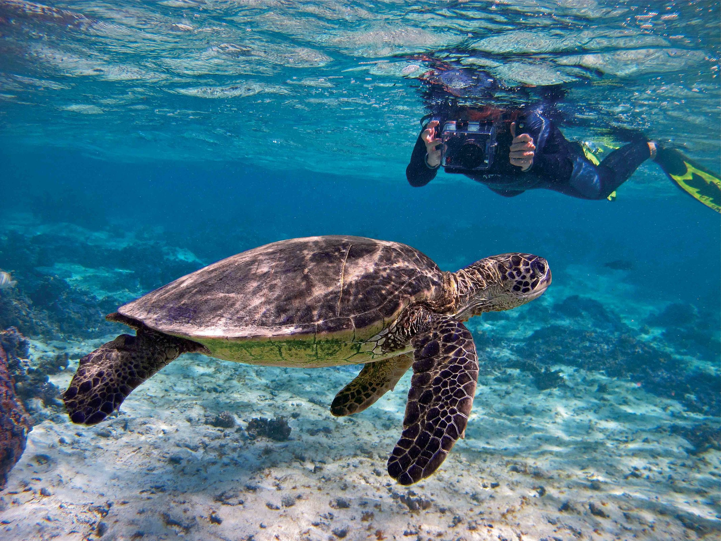 A snorkeler photographs a green turtle. Researchers are exploring ways to combine photography and computer software to identify individual turtles. © WAYNE SENTMAN