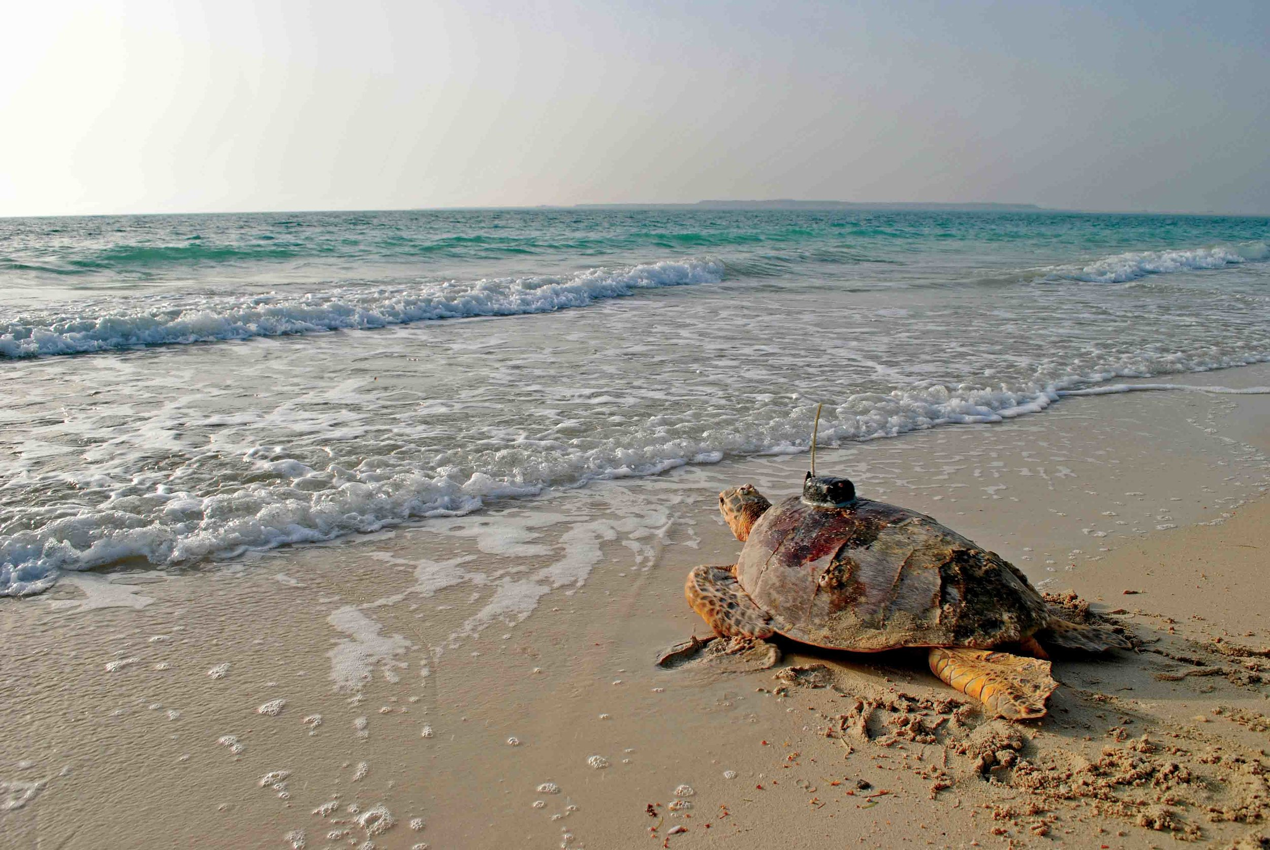 A satellite-tagged hawksbill returns to sea at Sir Bu Nair Island, United Arab Emirates. Seventy-five hawksbills were tracked from four different countries as part of efforts to identify Important Turtle Areas in the Gulf. © OLIVER KERR / EWS-WWF